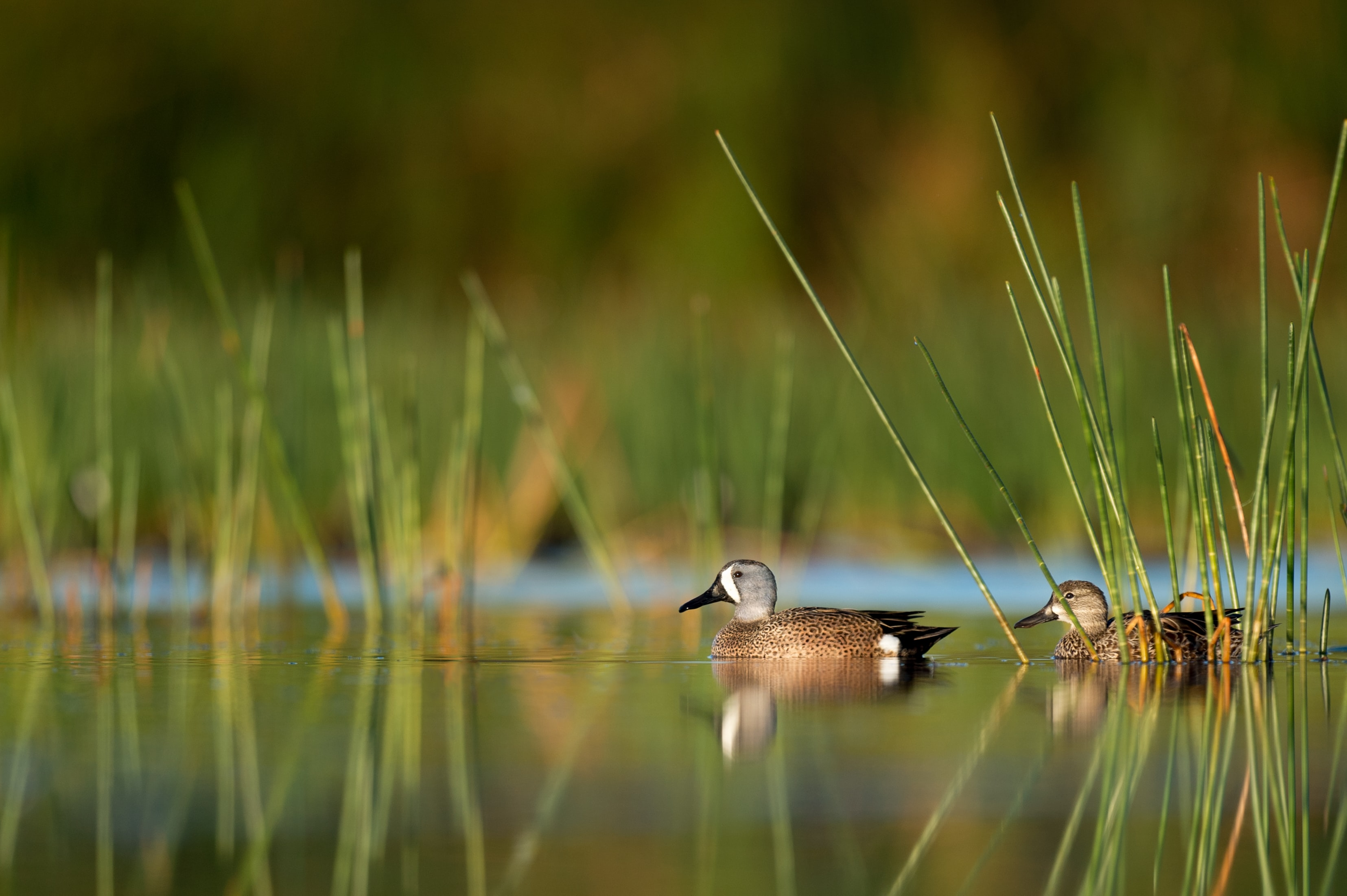 selective focus photography of two ducks on water