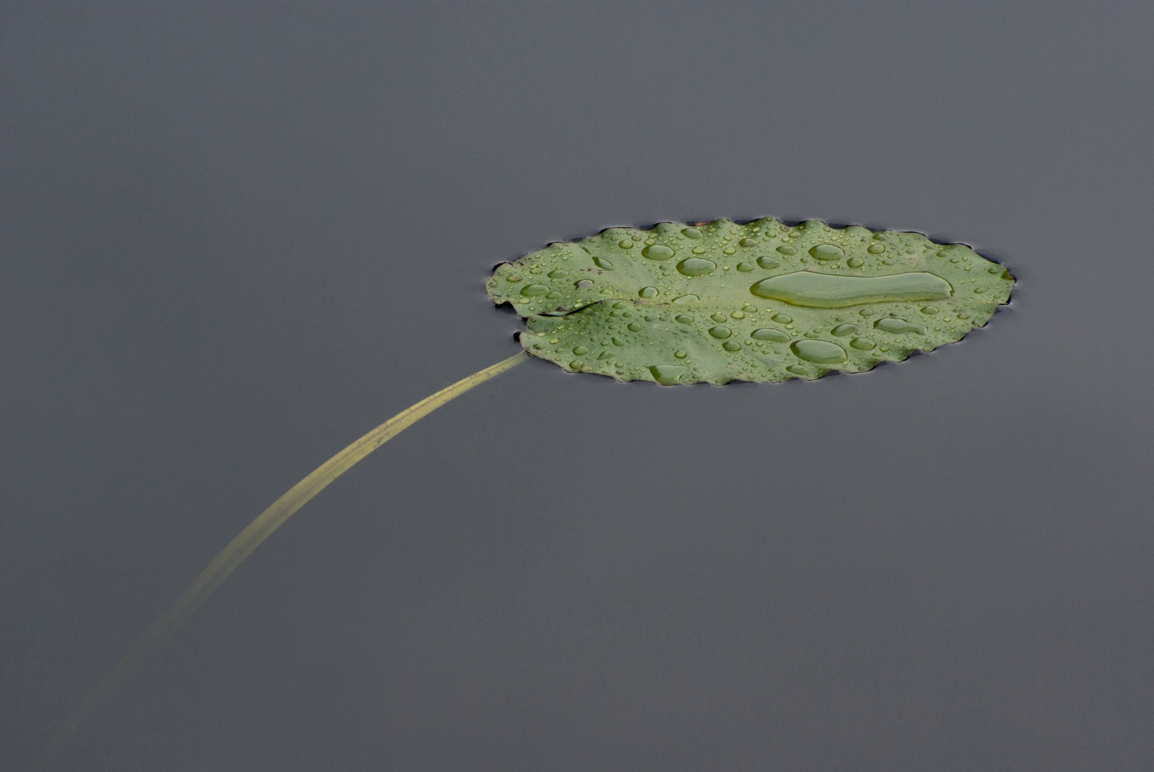 Lily pad with water droplets floats atop a still lake