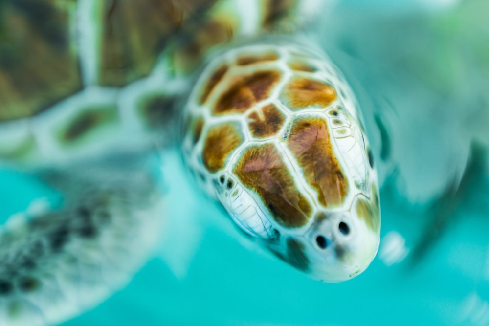underwater photography of brown sea turtle