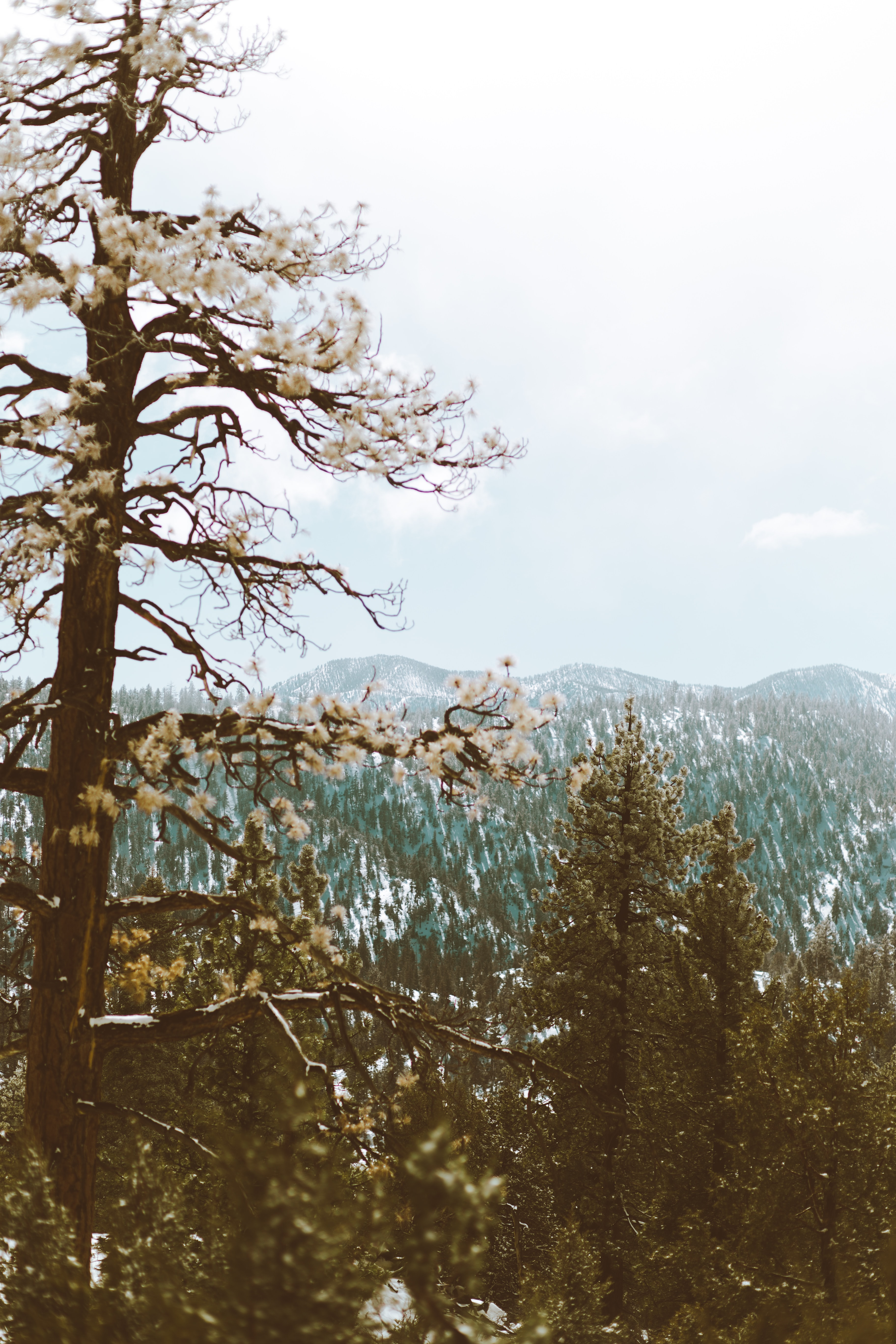Frost on trees near Big Bear Lake with low mountains on the horizon
