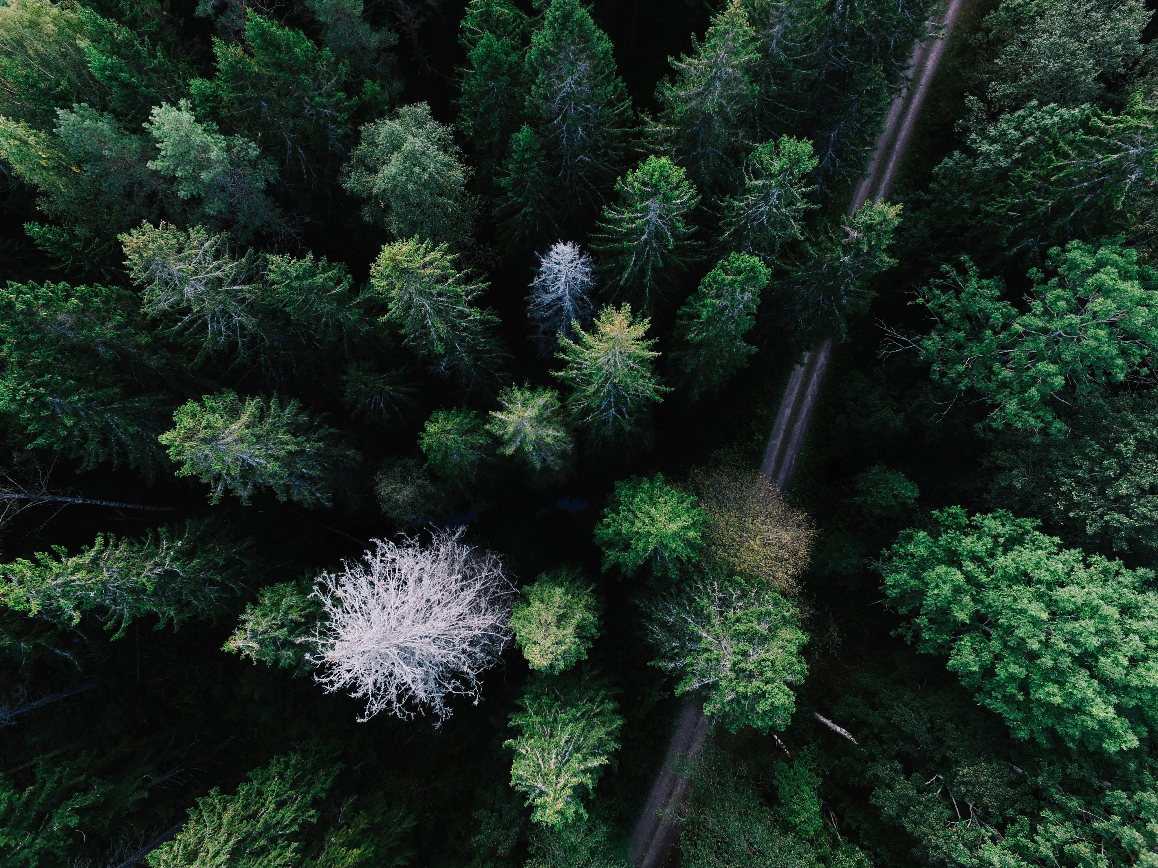 green pane trees