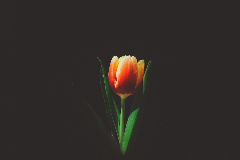 closeup photo of orange tulip flower