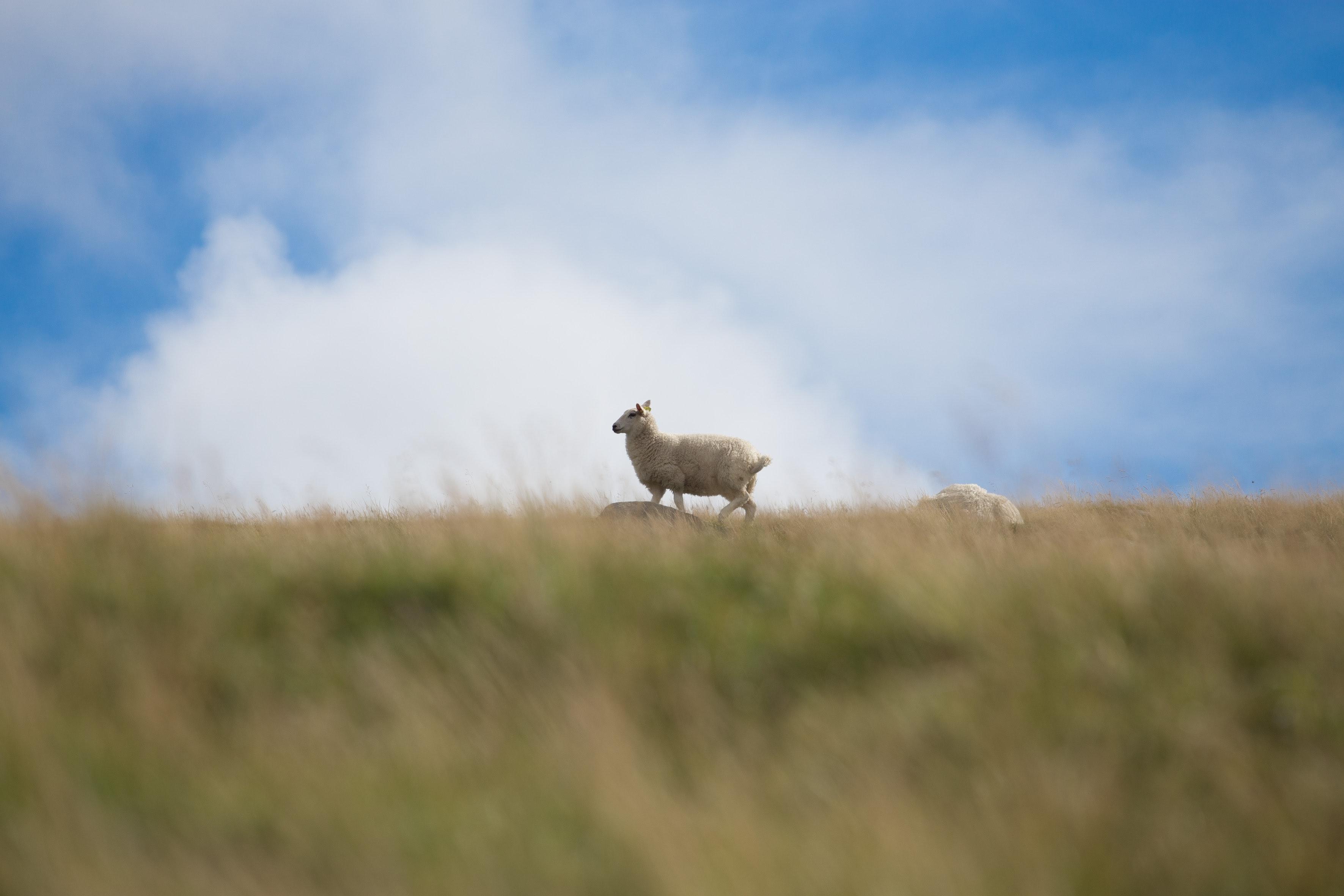 wildlife photography of white lamb