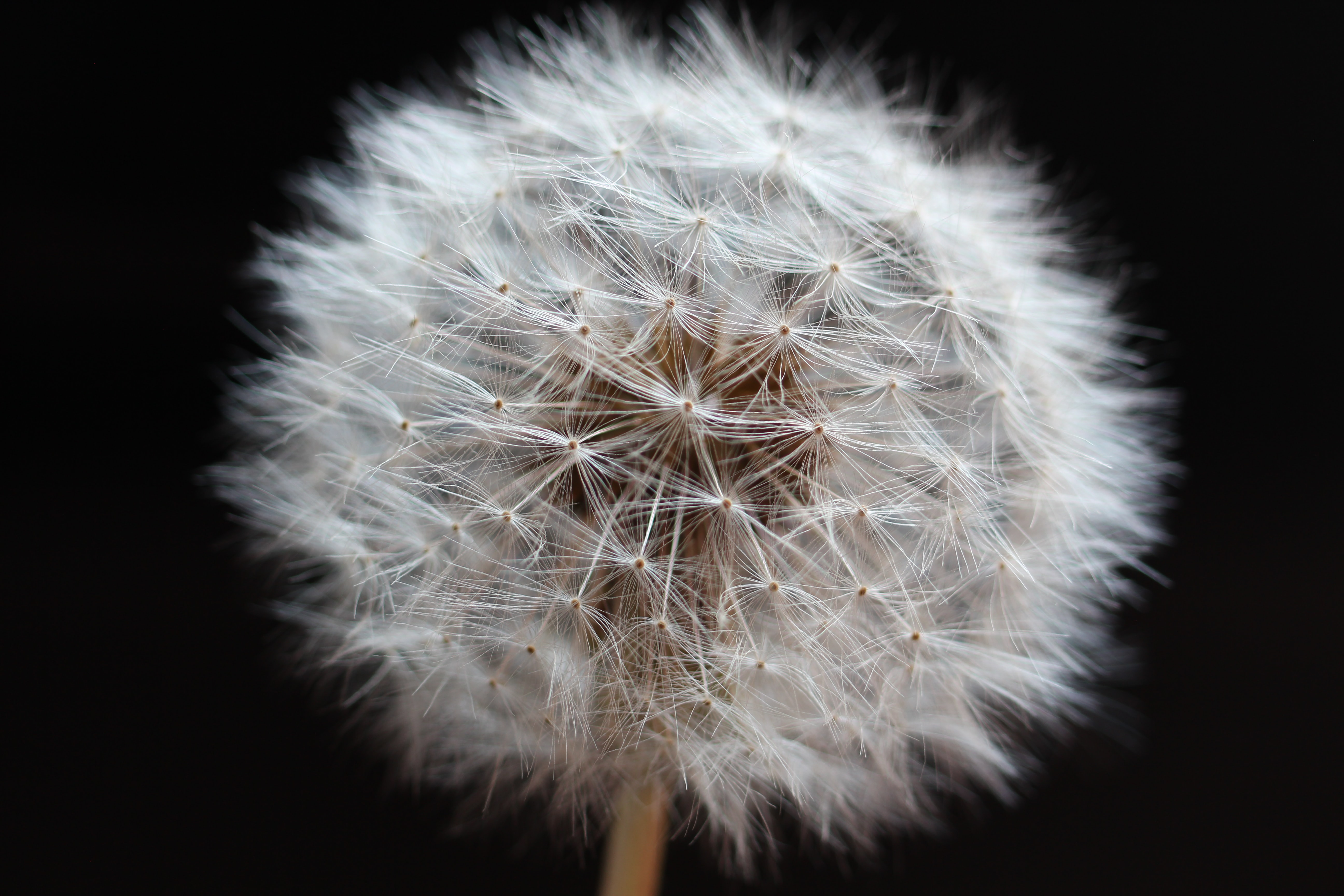 Close-up of a dandelion seed head covered in downy