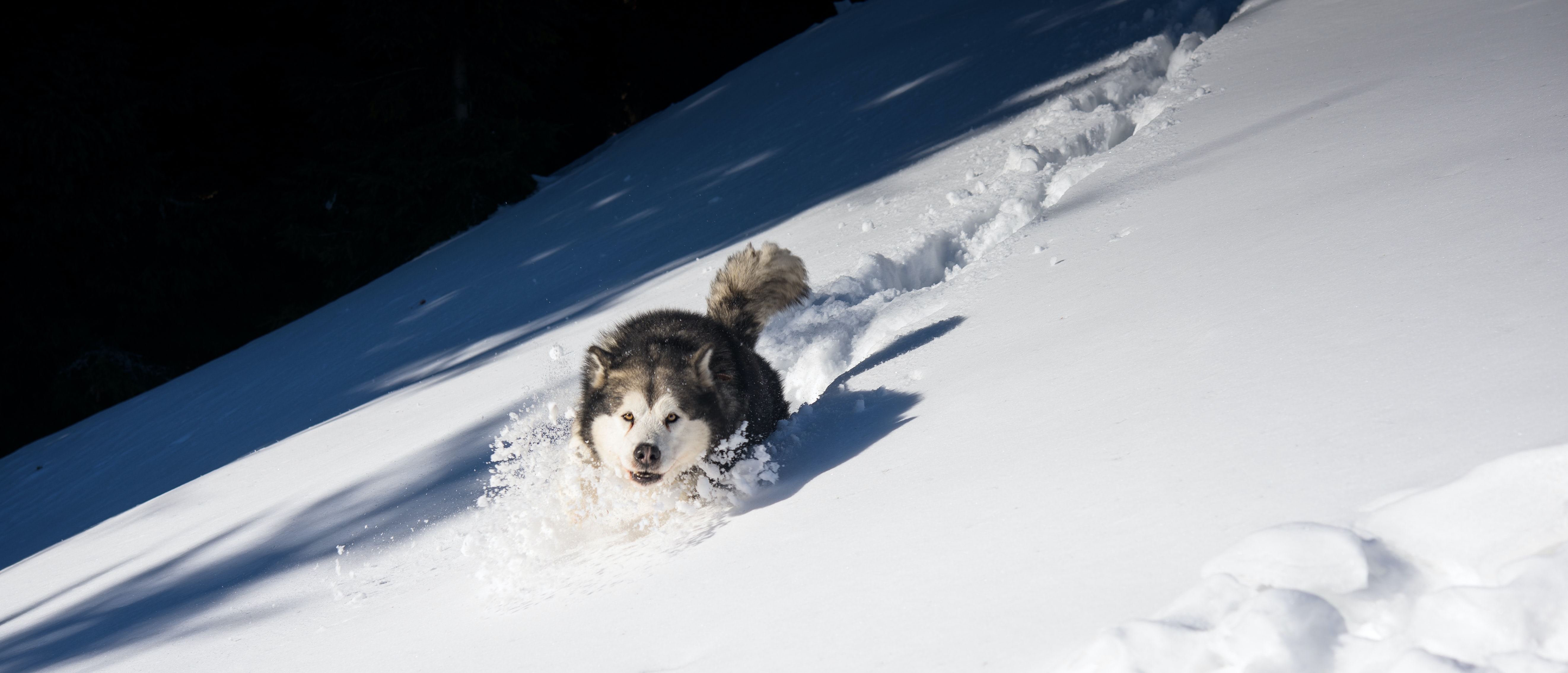 white and black Siberian husky playing on snow field