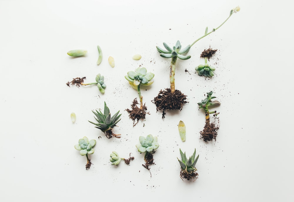 flat lay photo of succulent plant