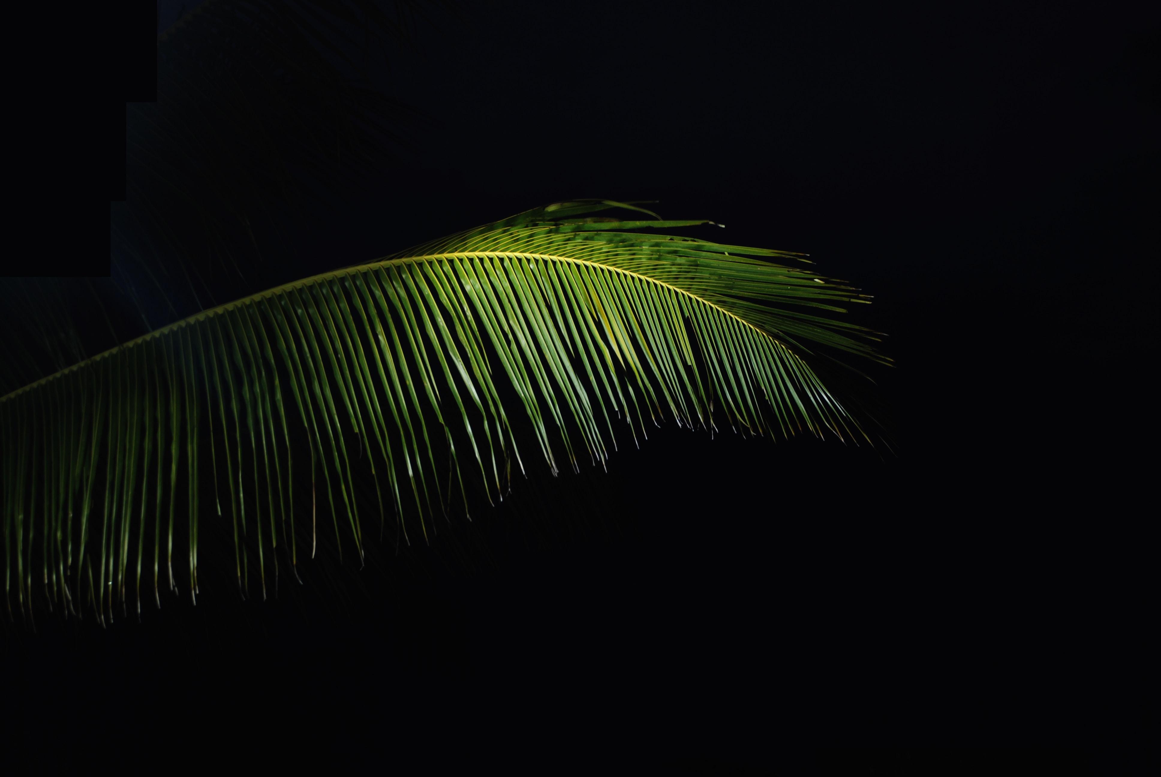 green coconut tree leaf