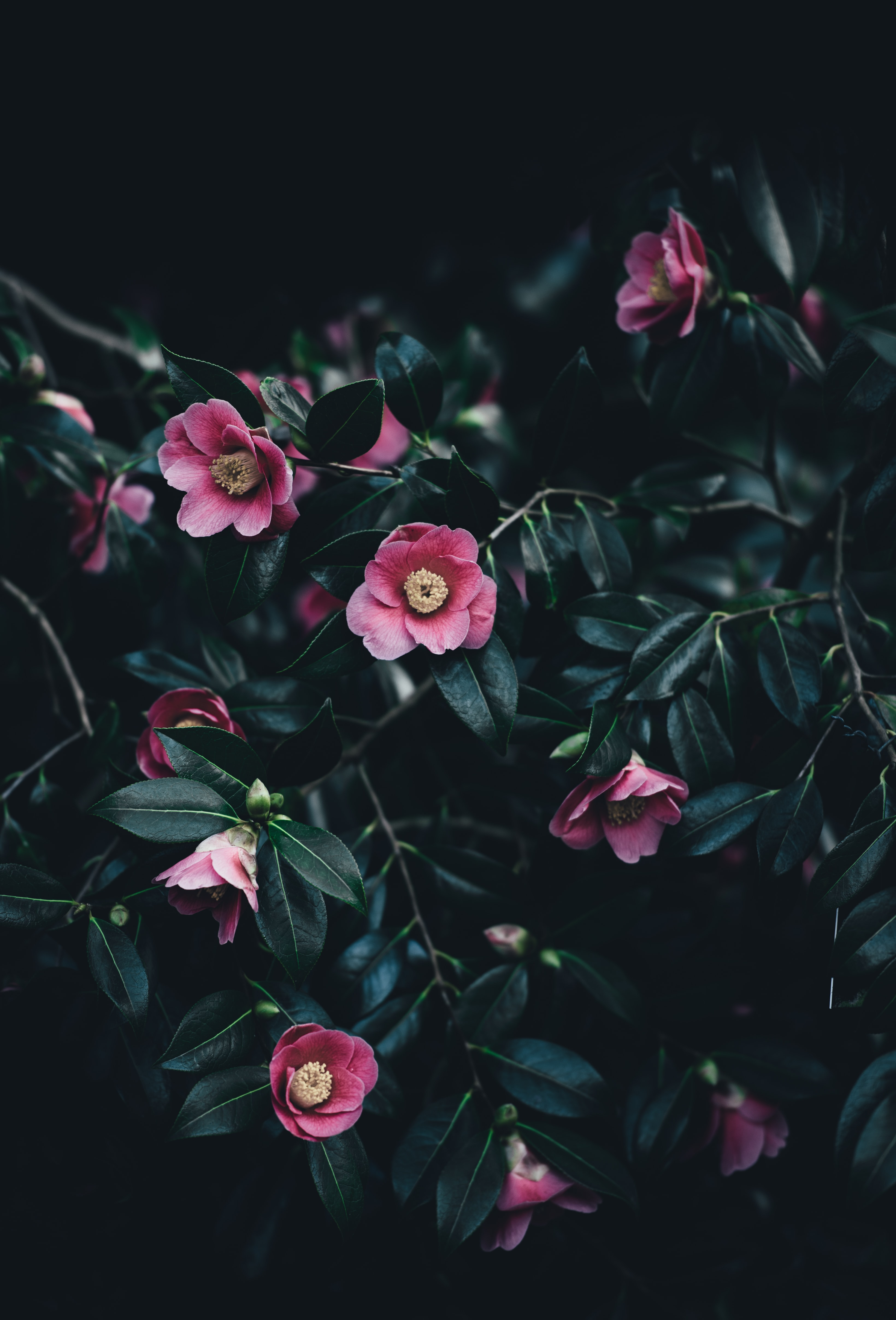 Small pink camellia flowers among dark green leaves