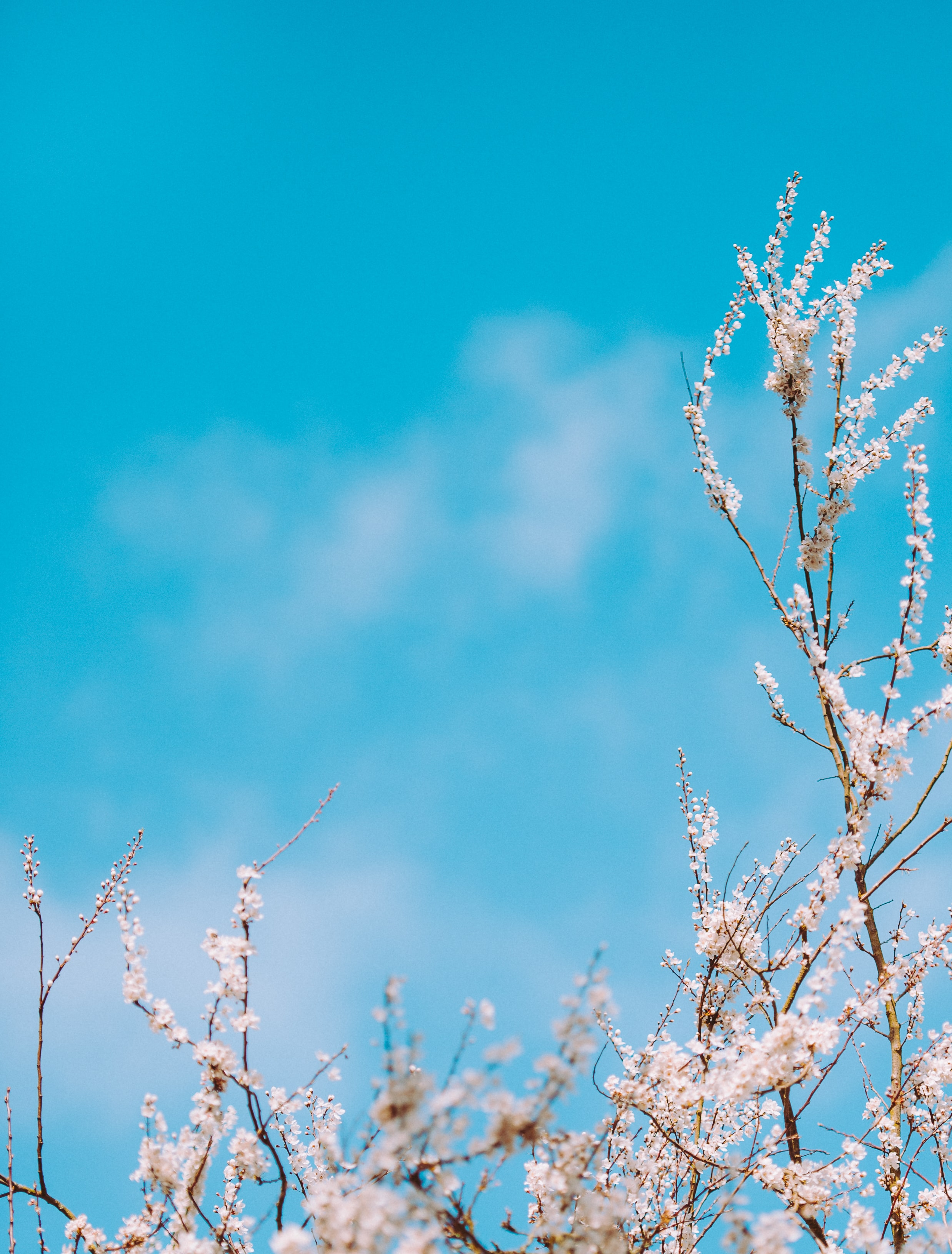 Branches with white blossom with blue sky background in Spring