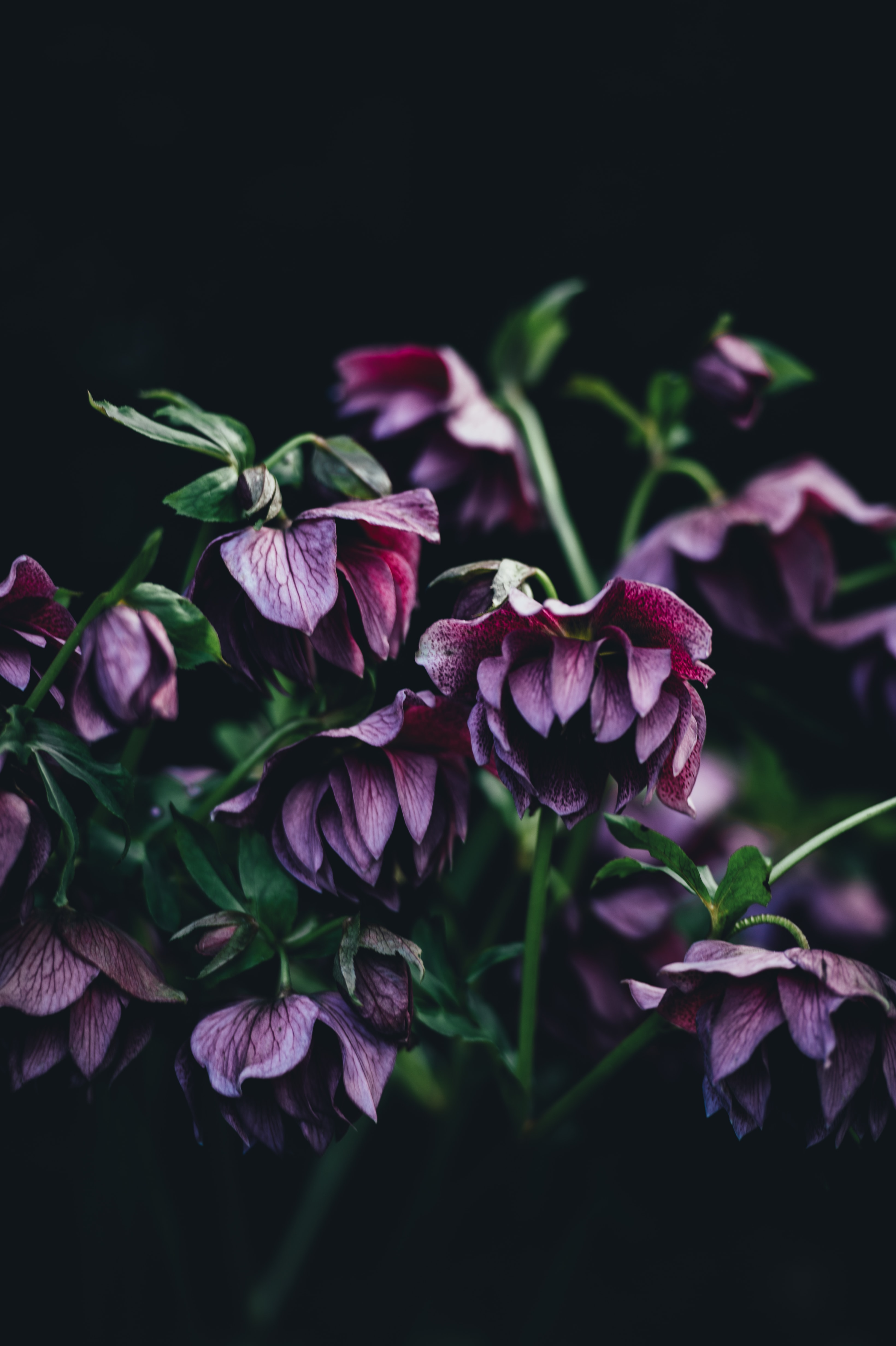 Purple hellebore flowers leaning down against a black background
