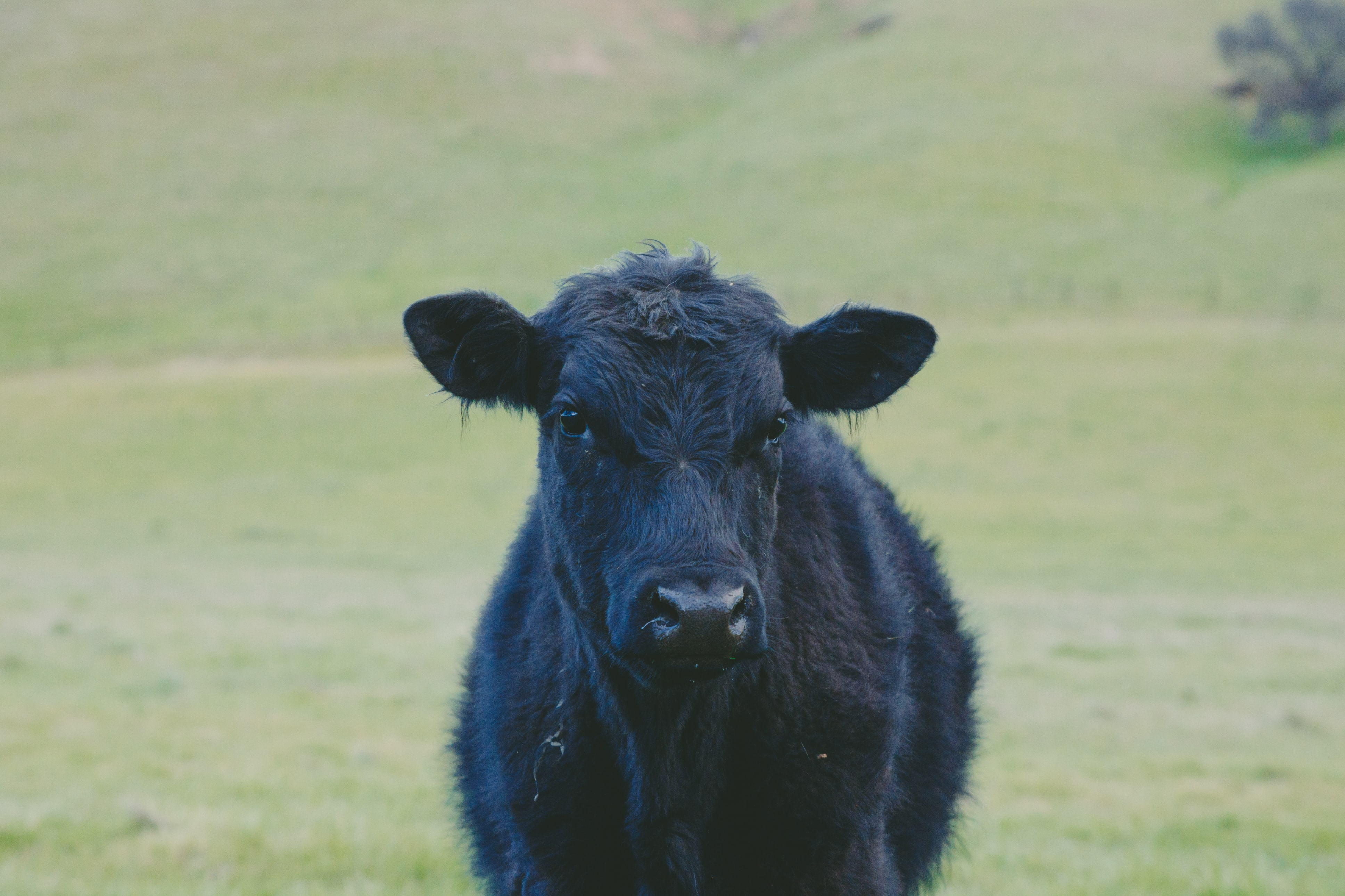 closeup photo of black cow calf