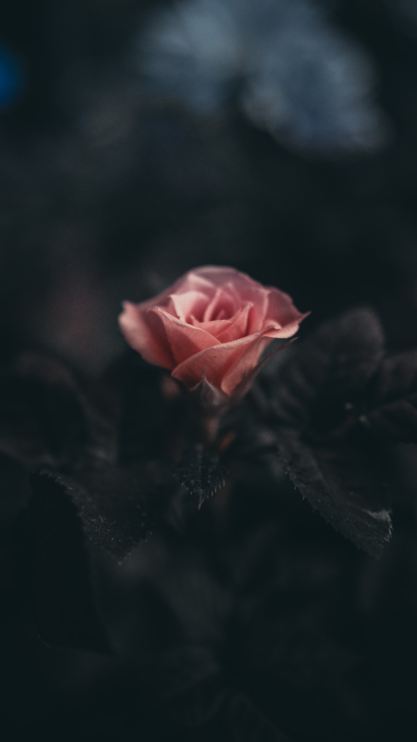 A pink rose blossoming in the dark