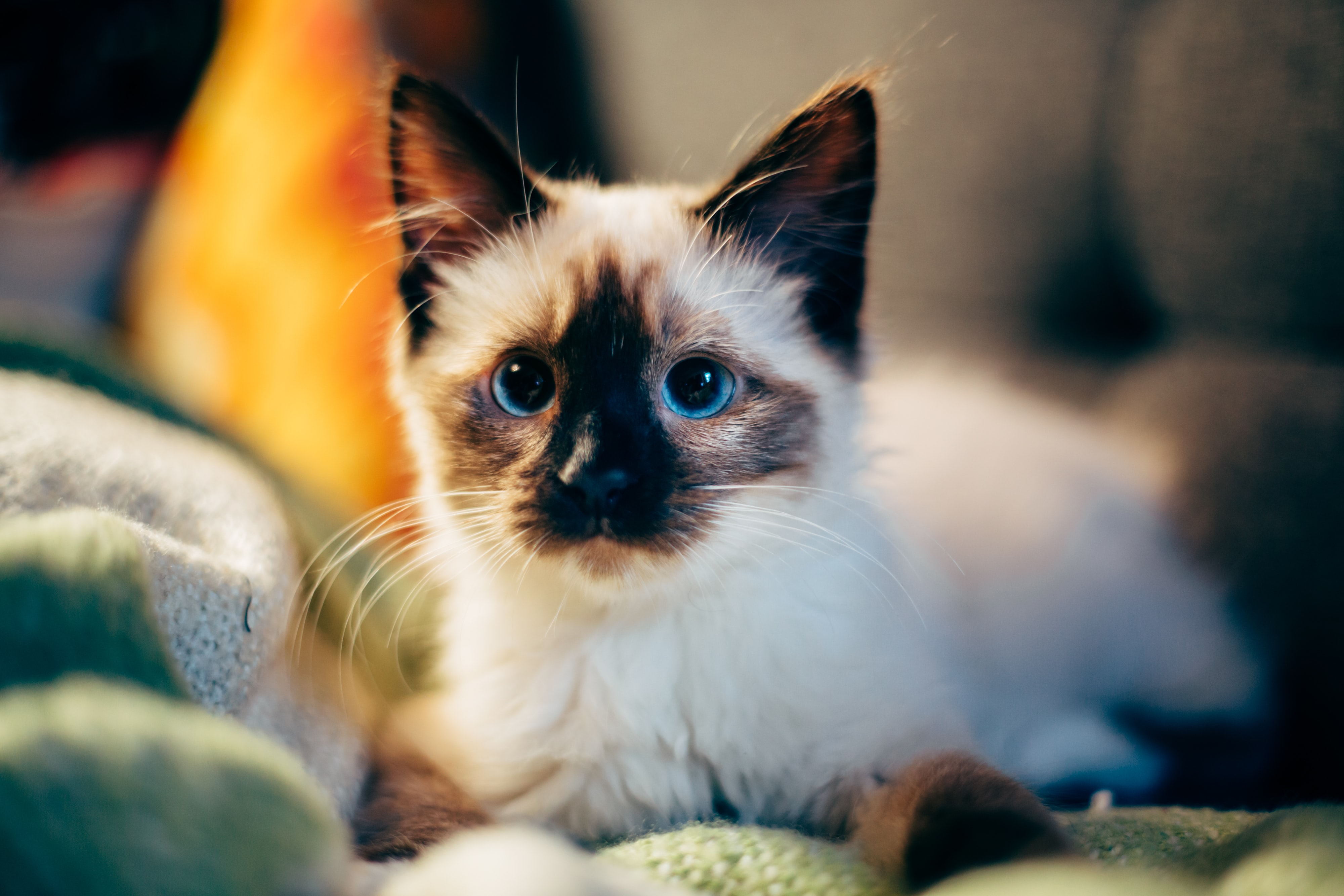 Close-up of a blue-eyed cat lying on the sofa and looking at the camera