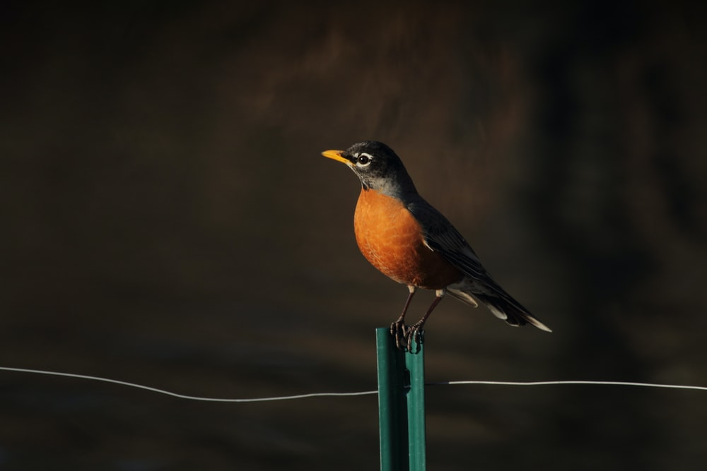 focus photography of brown and black bird