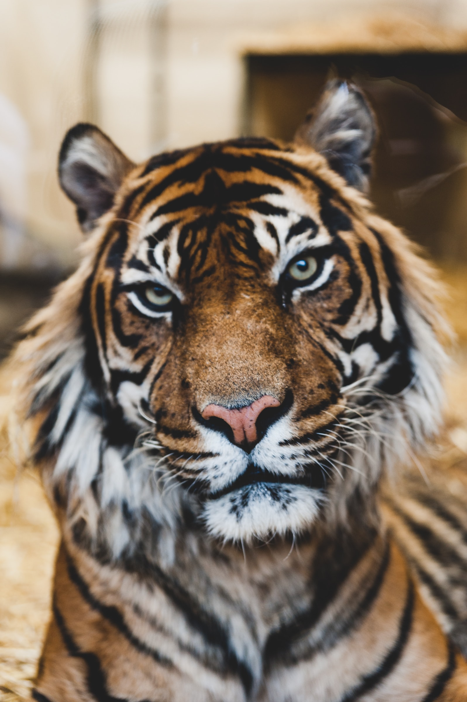 Tiger staring at camera at Edinburgh Zoo