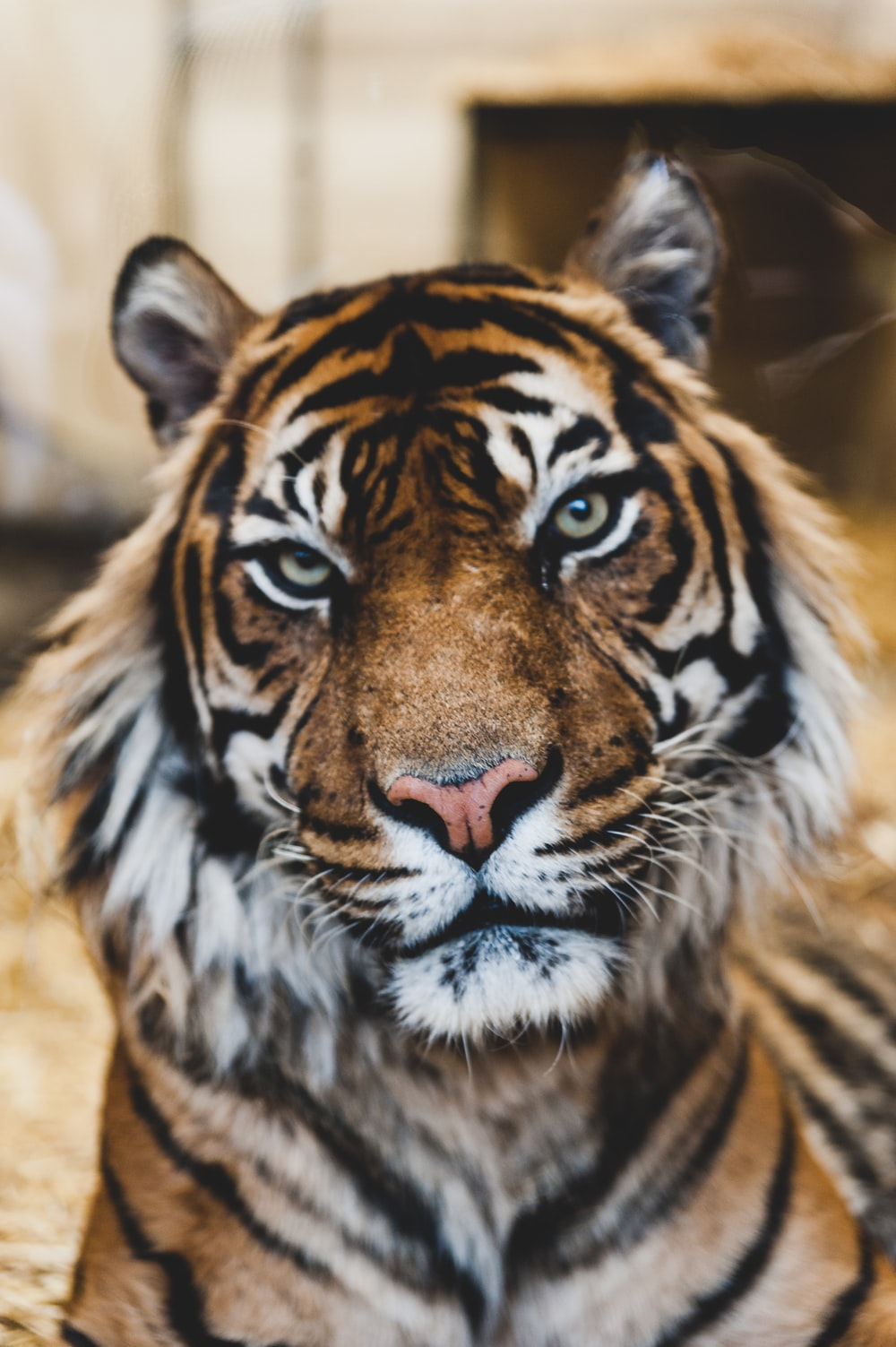majestic tiger photo by ian robinson ianrobinson on unsplash