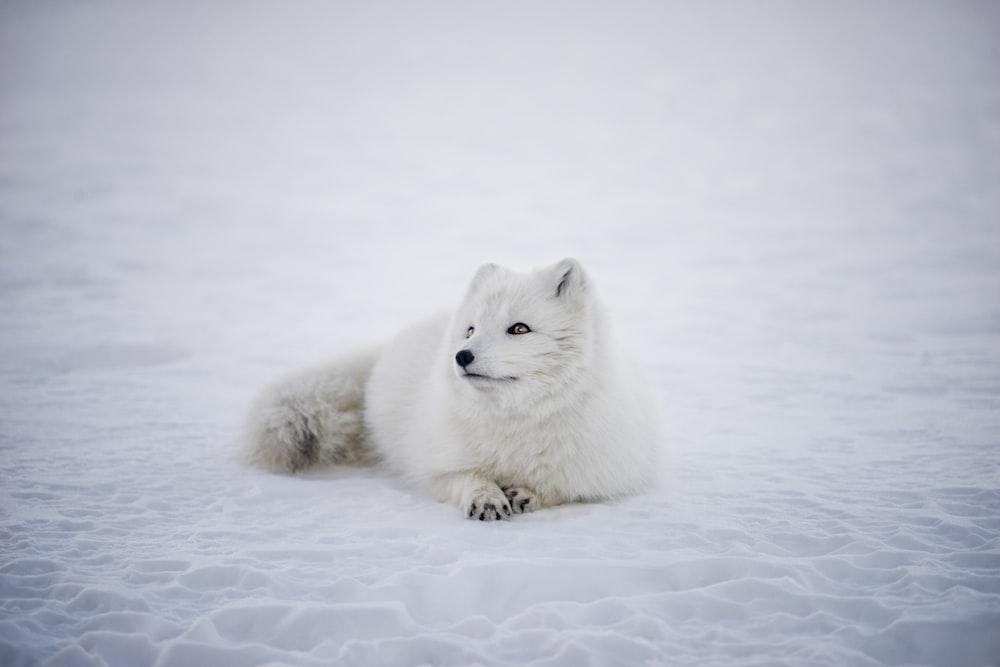 short-coated white wolf laying on white surface
