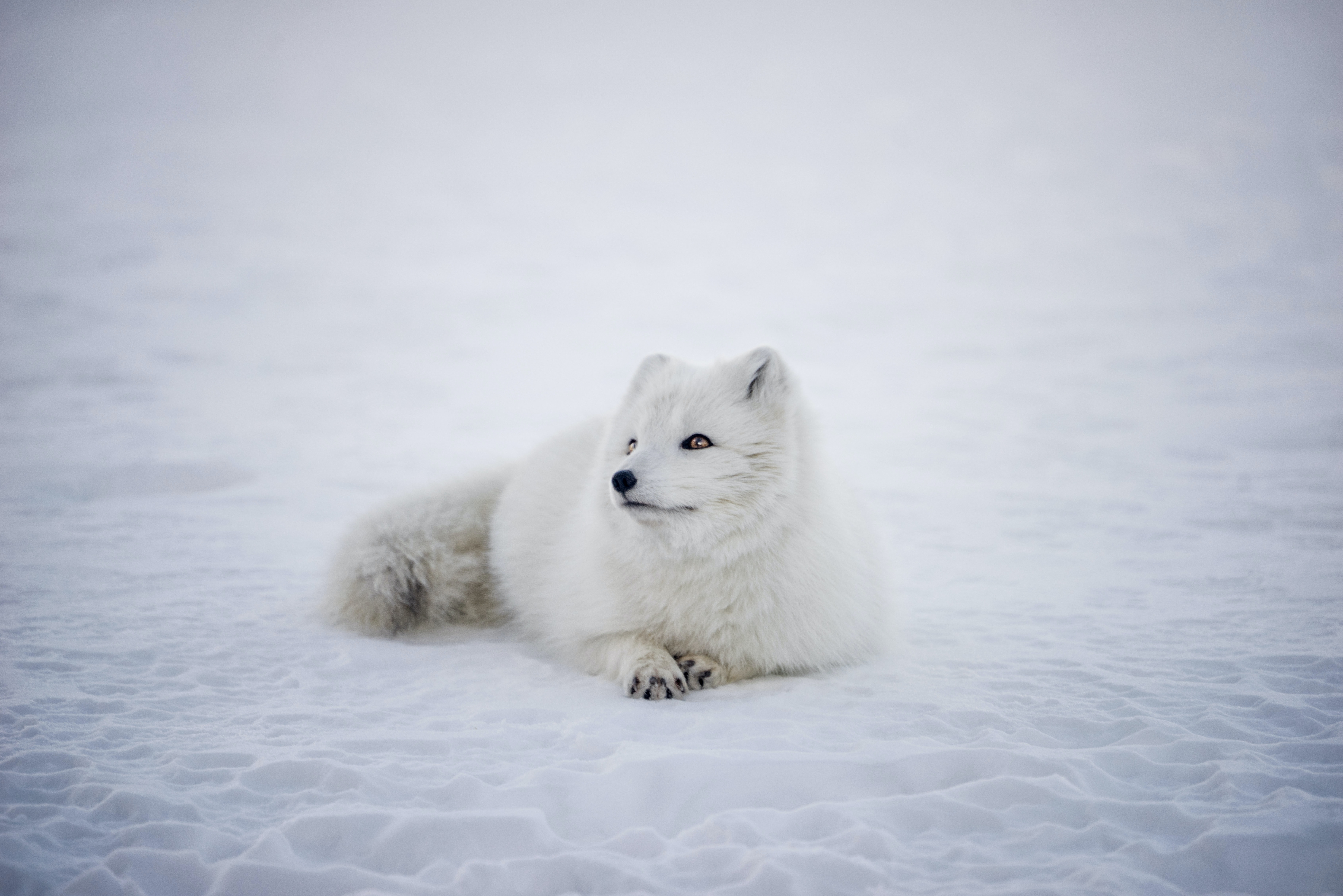 Arctic fox sits in the ice and snow in the winter