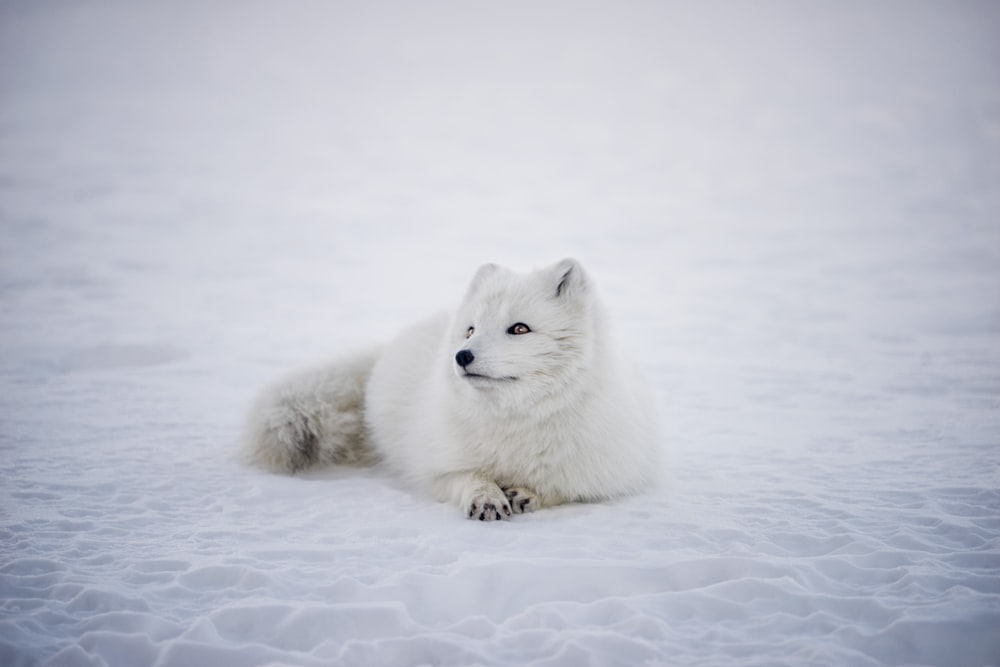 short-coated white wolf laying on white surface