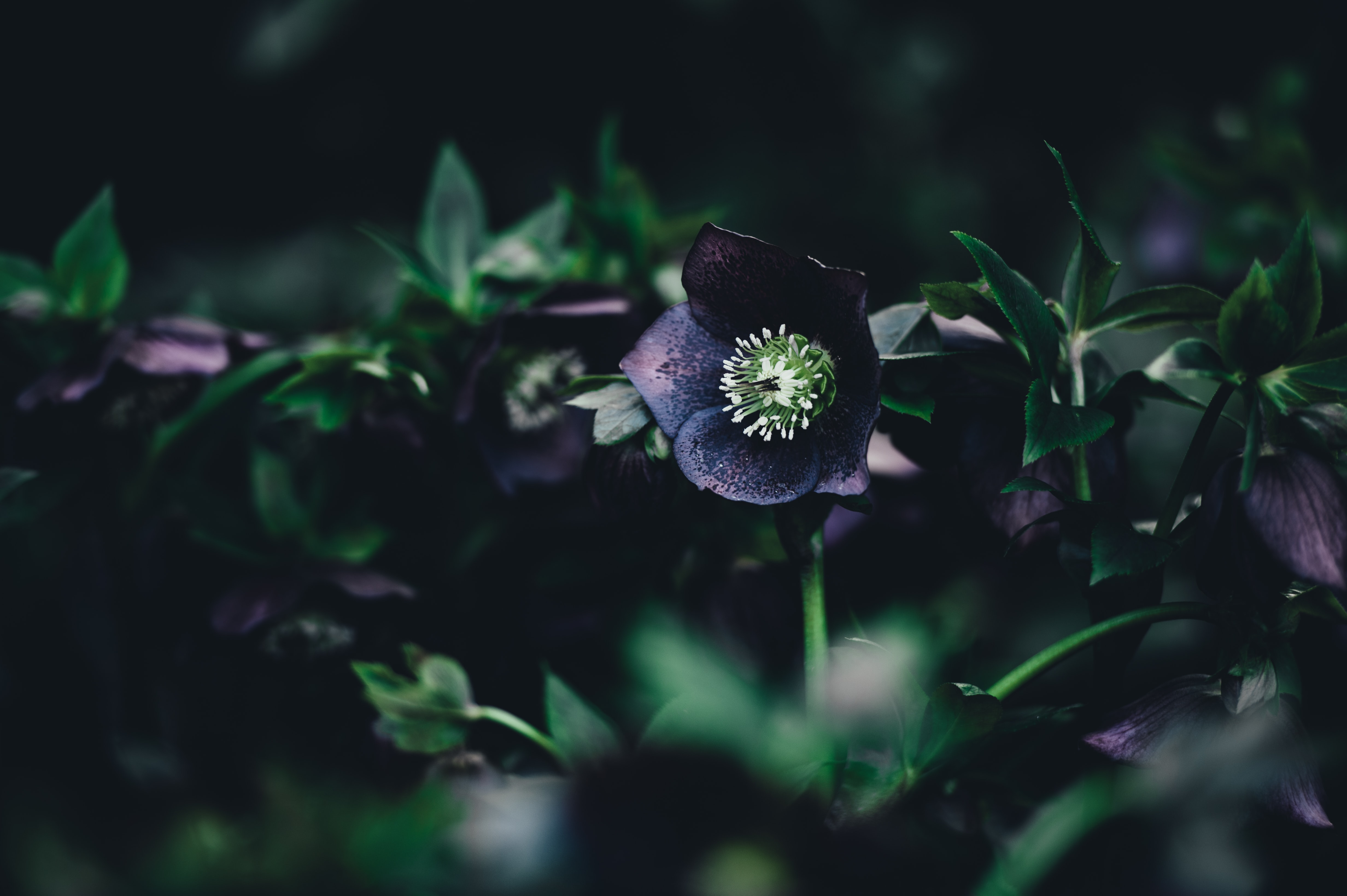 Close-up of black hellebore flowers among leaves