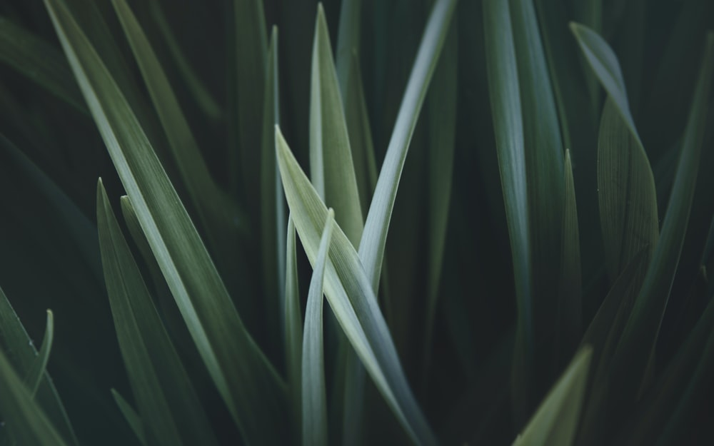 close up photo of green linear leaves
