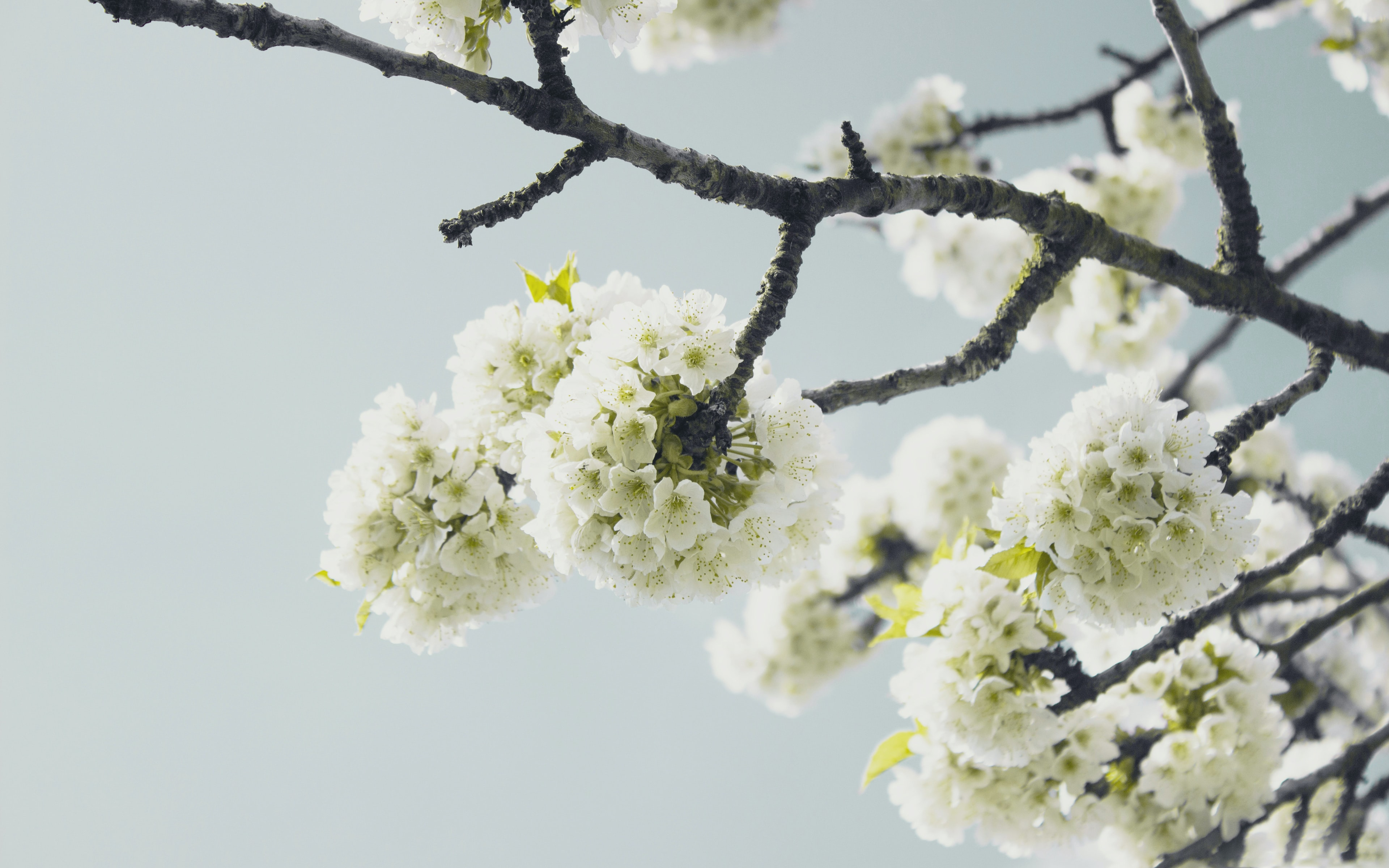 Branch with thick white blossom with clear sky background in Spring