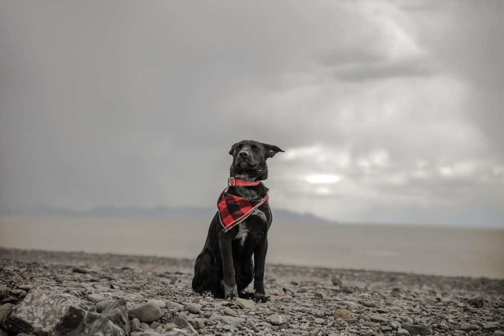 selective color photography of dog wearing red scarf under cloudy sky