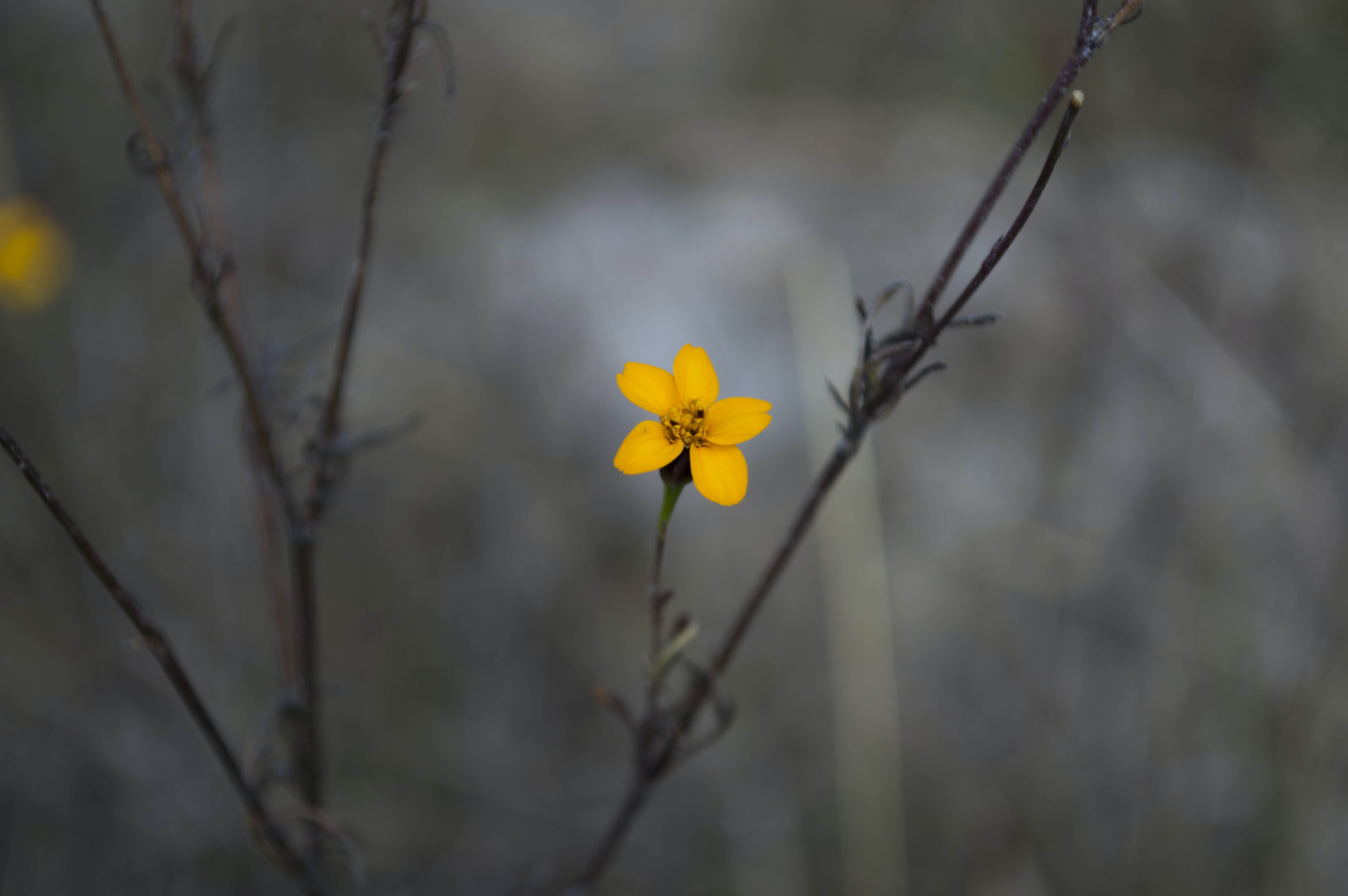 Close-up of a yellow flower at the tip of a branch