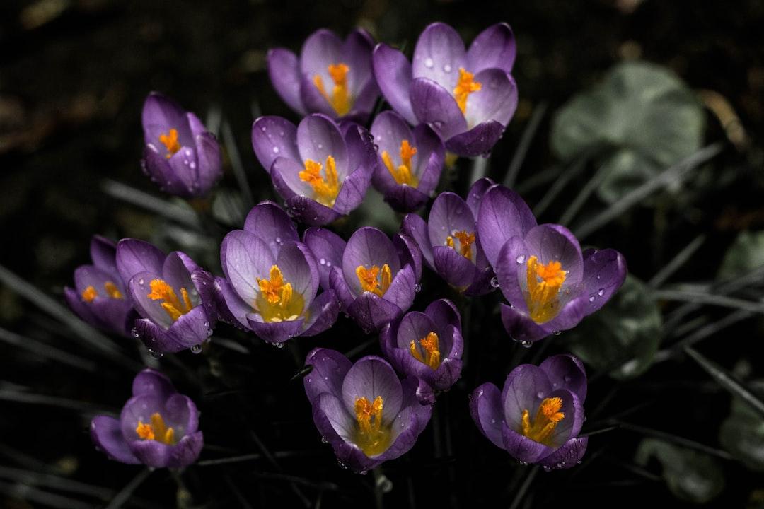 Top view of purple crocuses