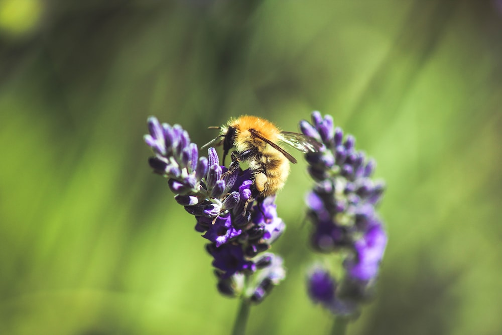 selective focus photography of bee perching on lavender plant