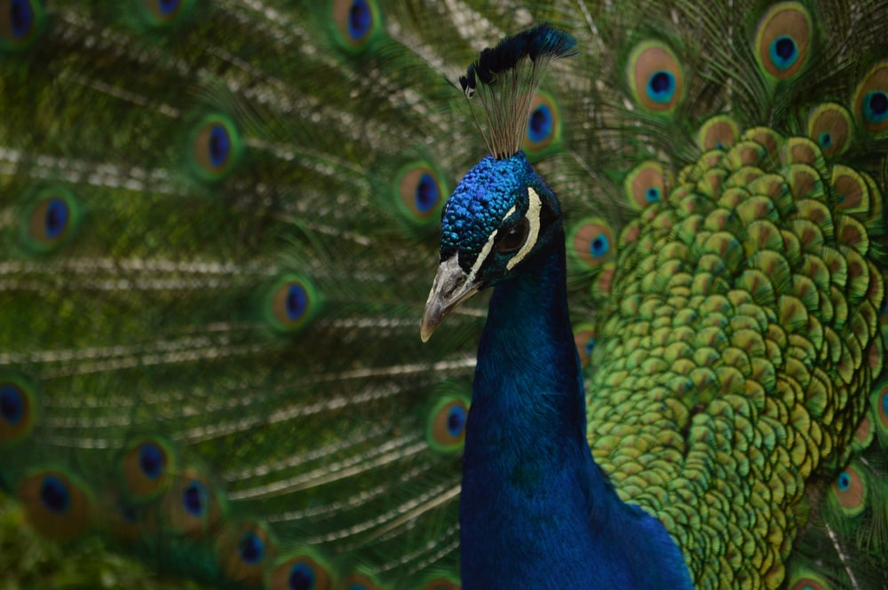 shallow focus photography of blue and green peacock
