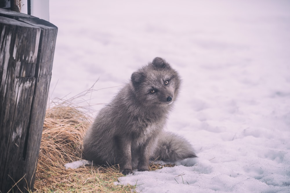 long-coated gray dog sitting on ground covered with snow