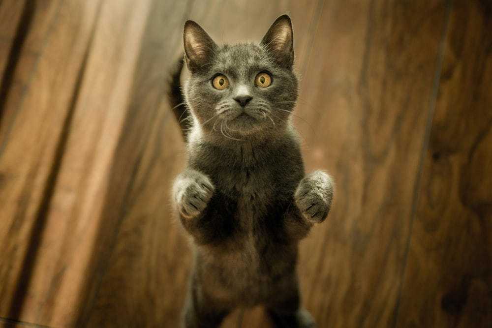 gray cat standing in two feet