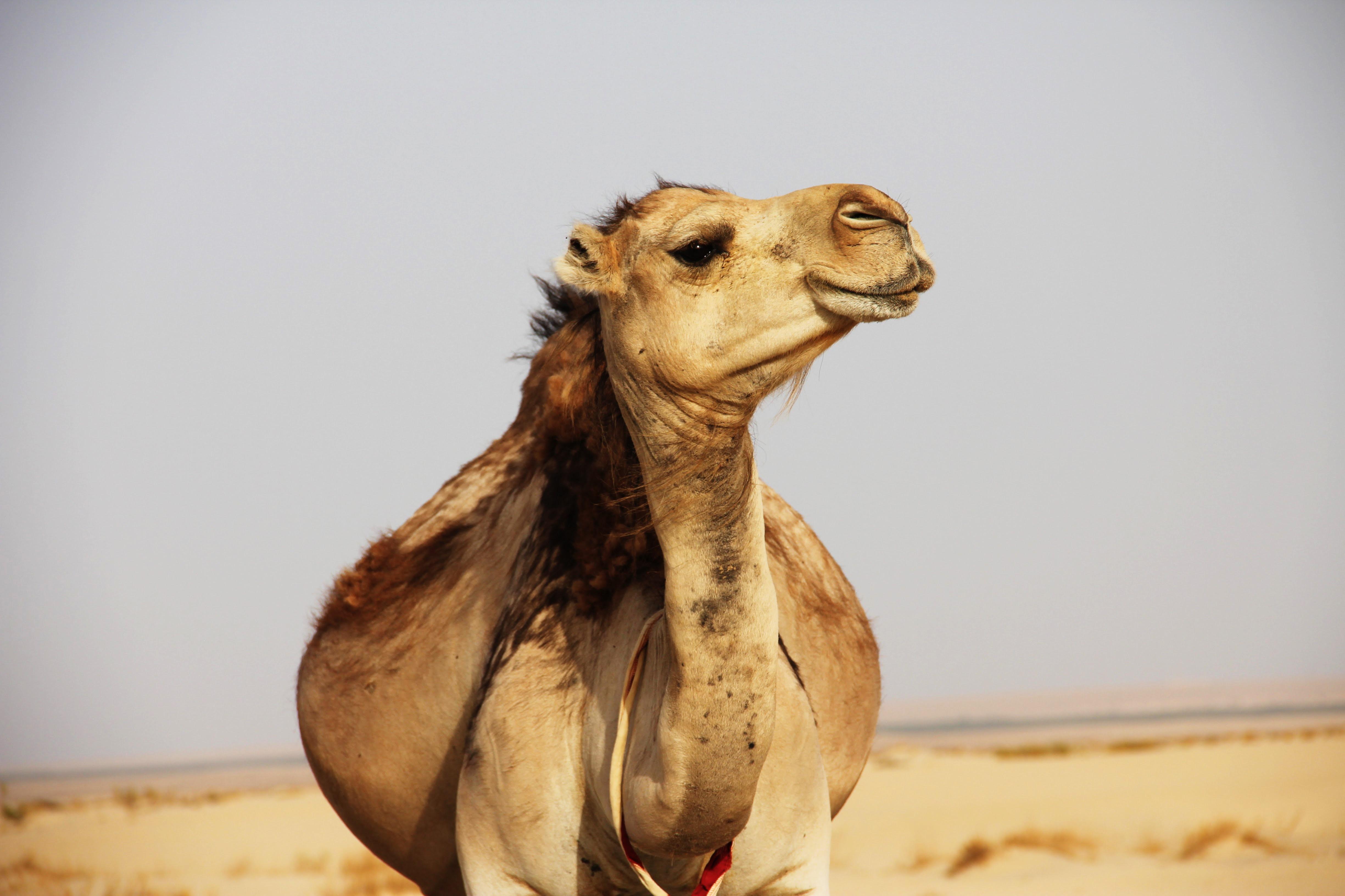 brown camel on desert