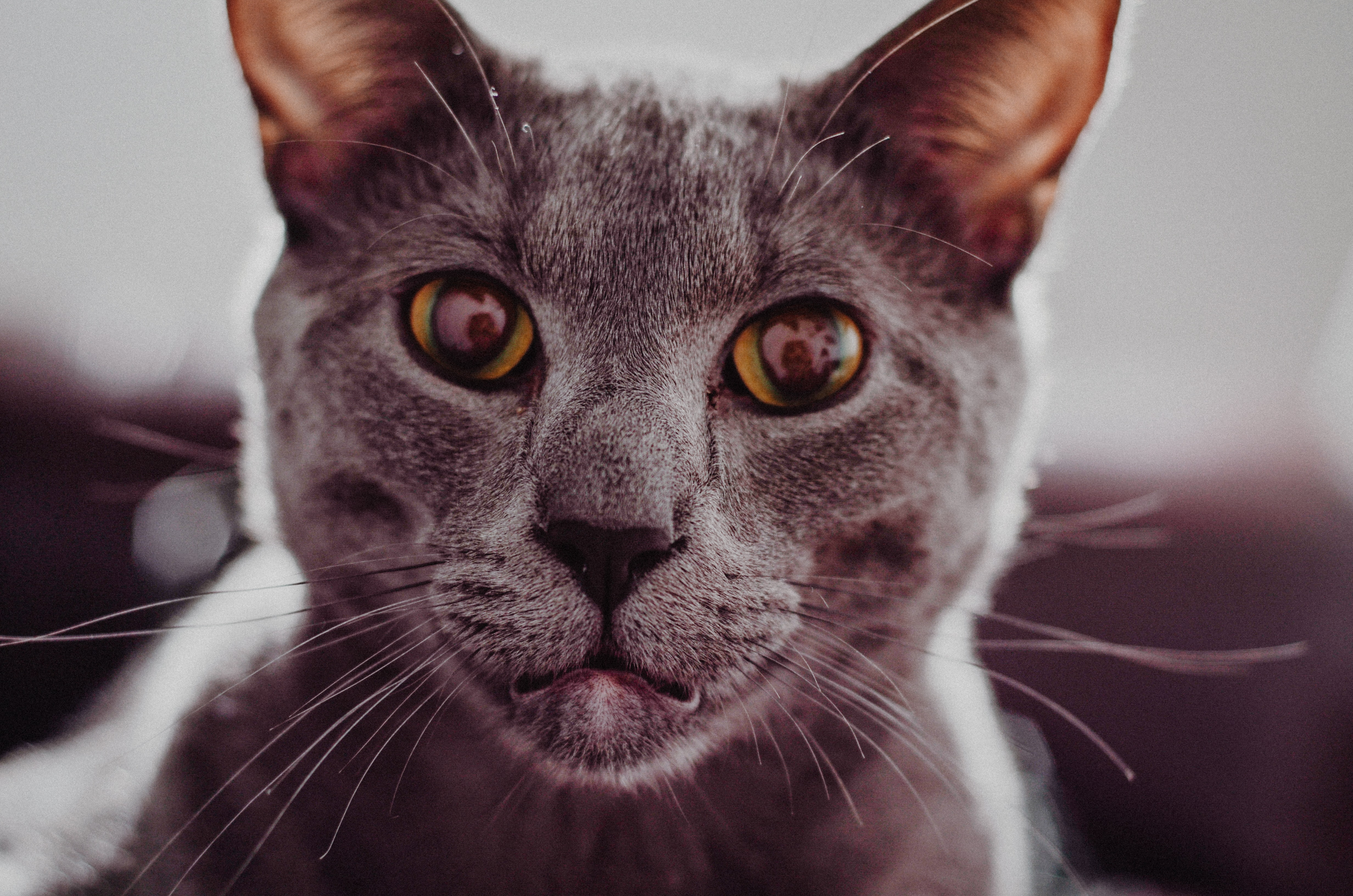Close-up of a gray short-haired cat looking straight at the camera