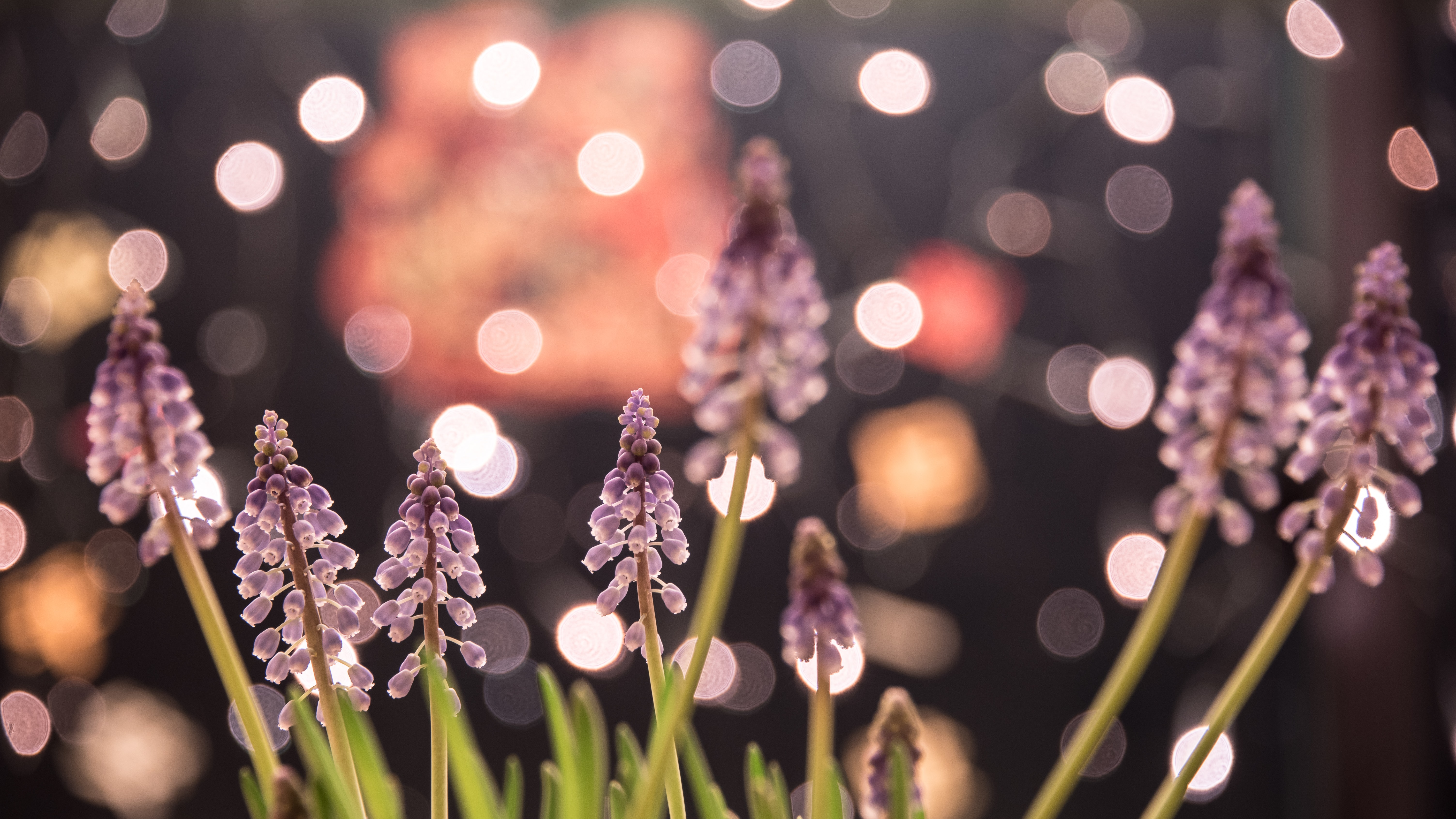 Close-up of a grouping of hyacinths with bokeh effect in the background