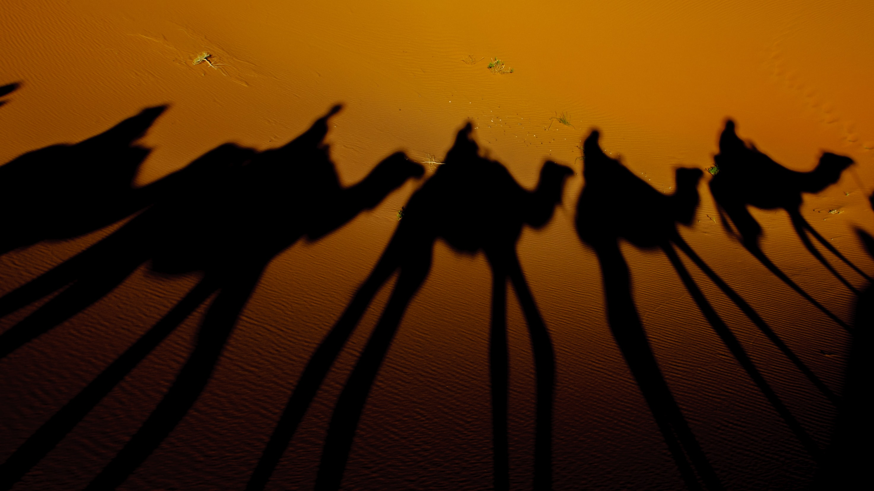 silhouette photography of camels