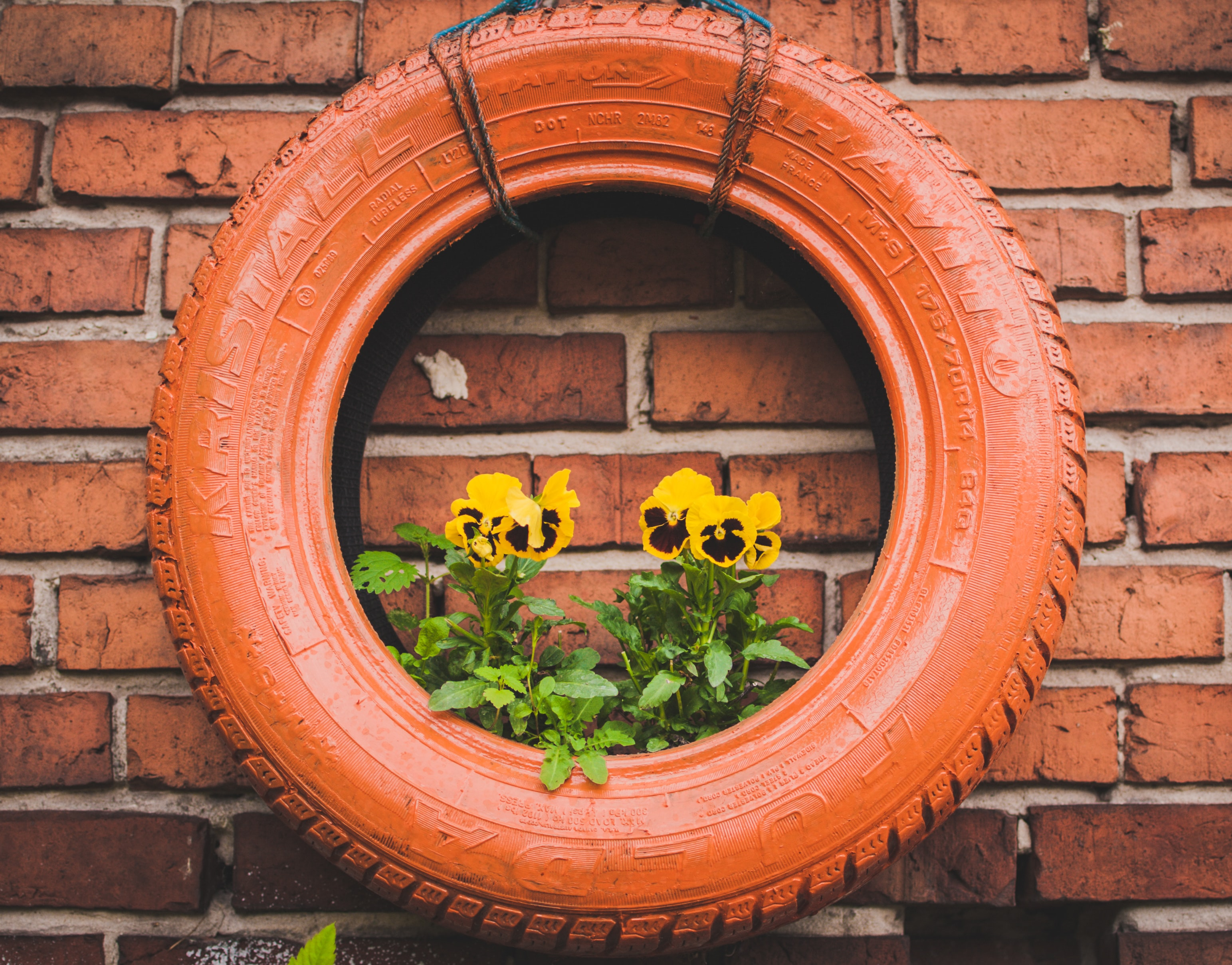 Yellow pansies growing in a red tire hanging from a wall