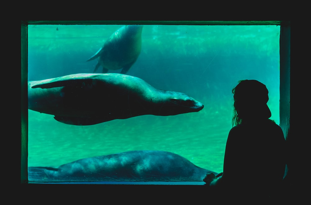 person looking at sea cow