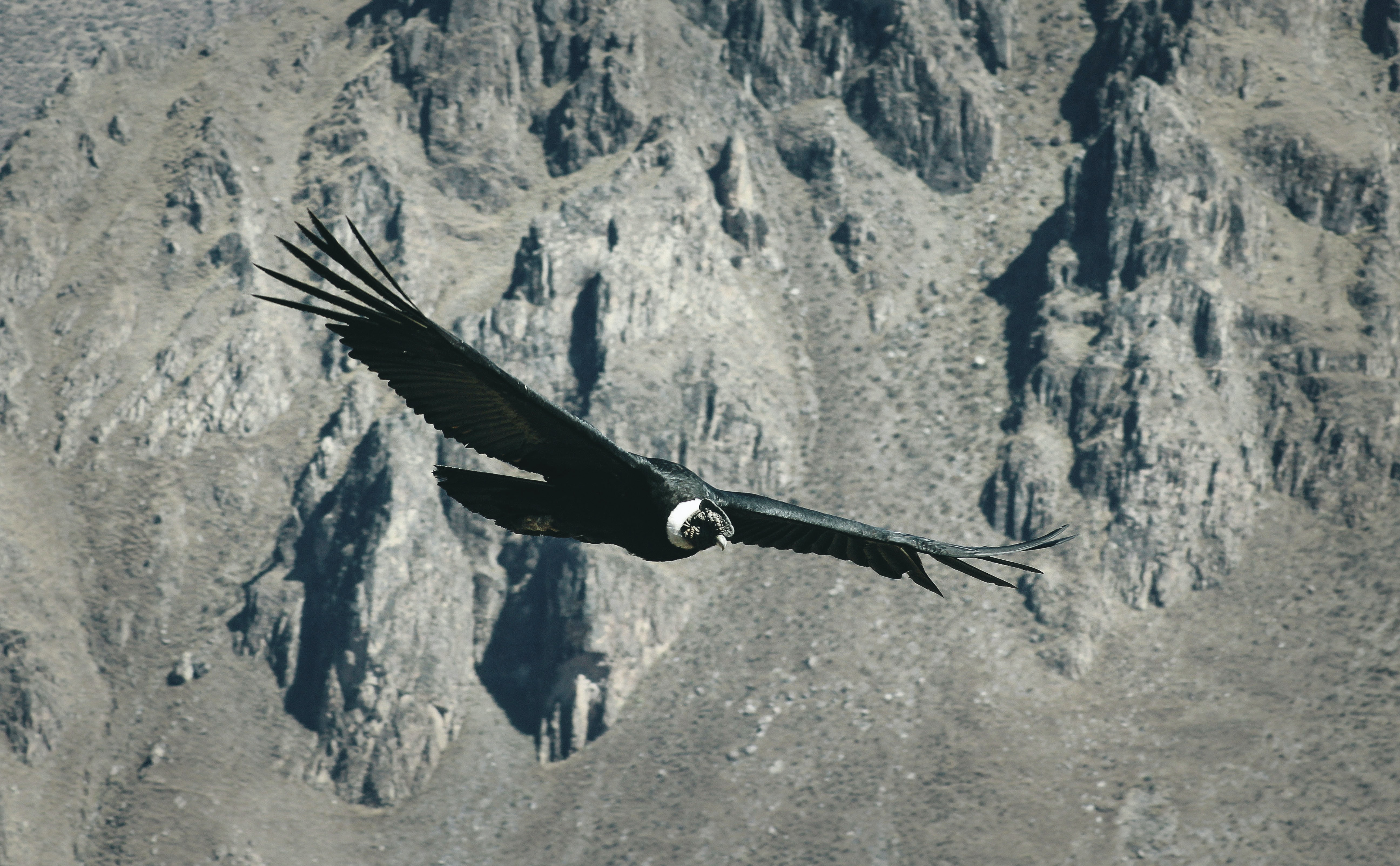 black bird flying over gray mountain