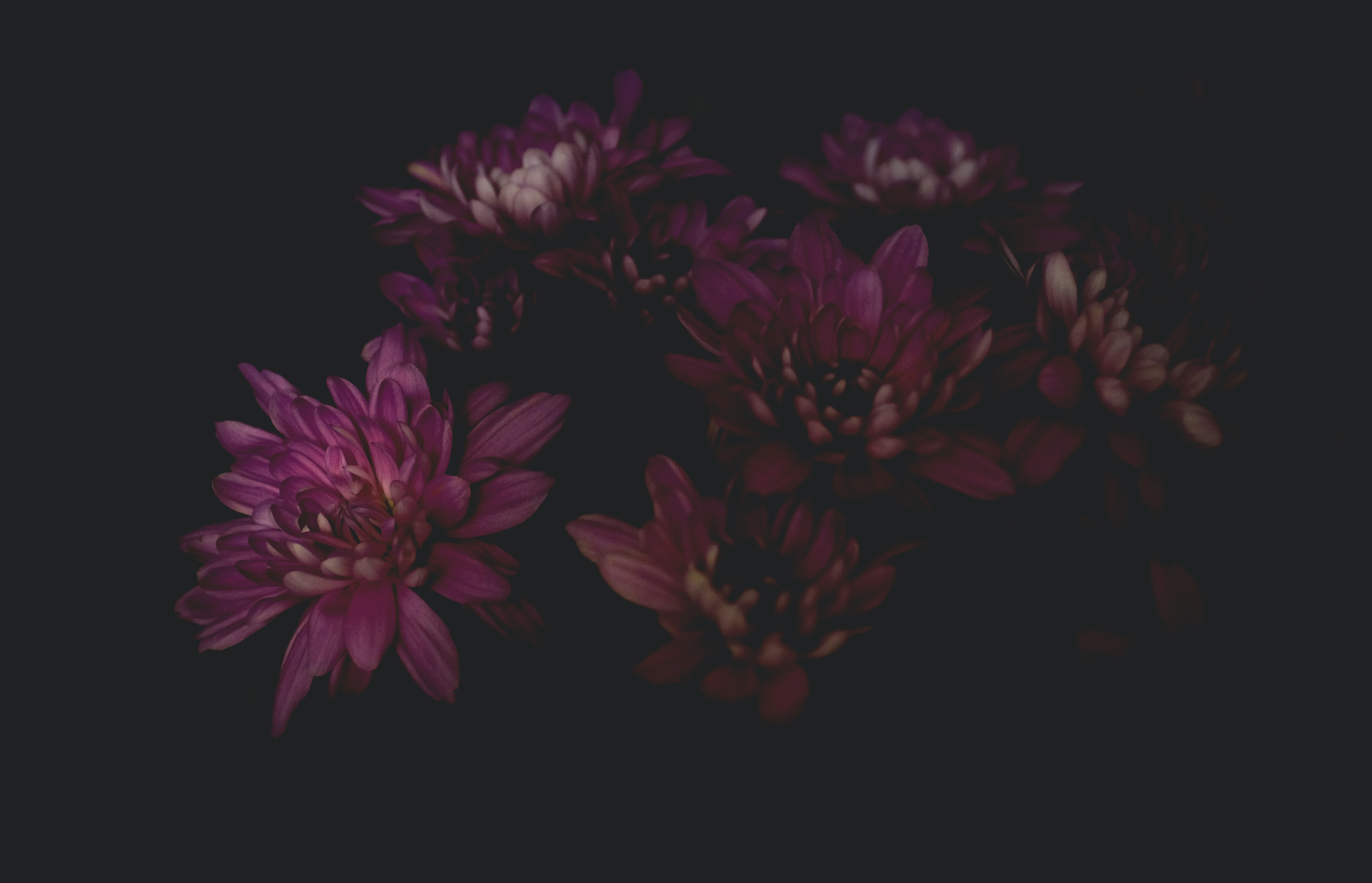 A dim shot of a bunch of purple flowers