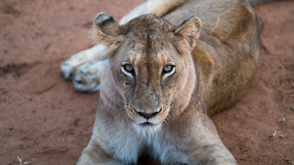 lioness laying on surface