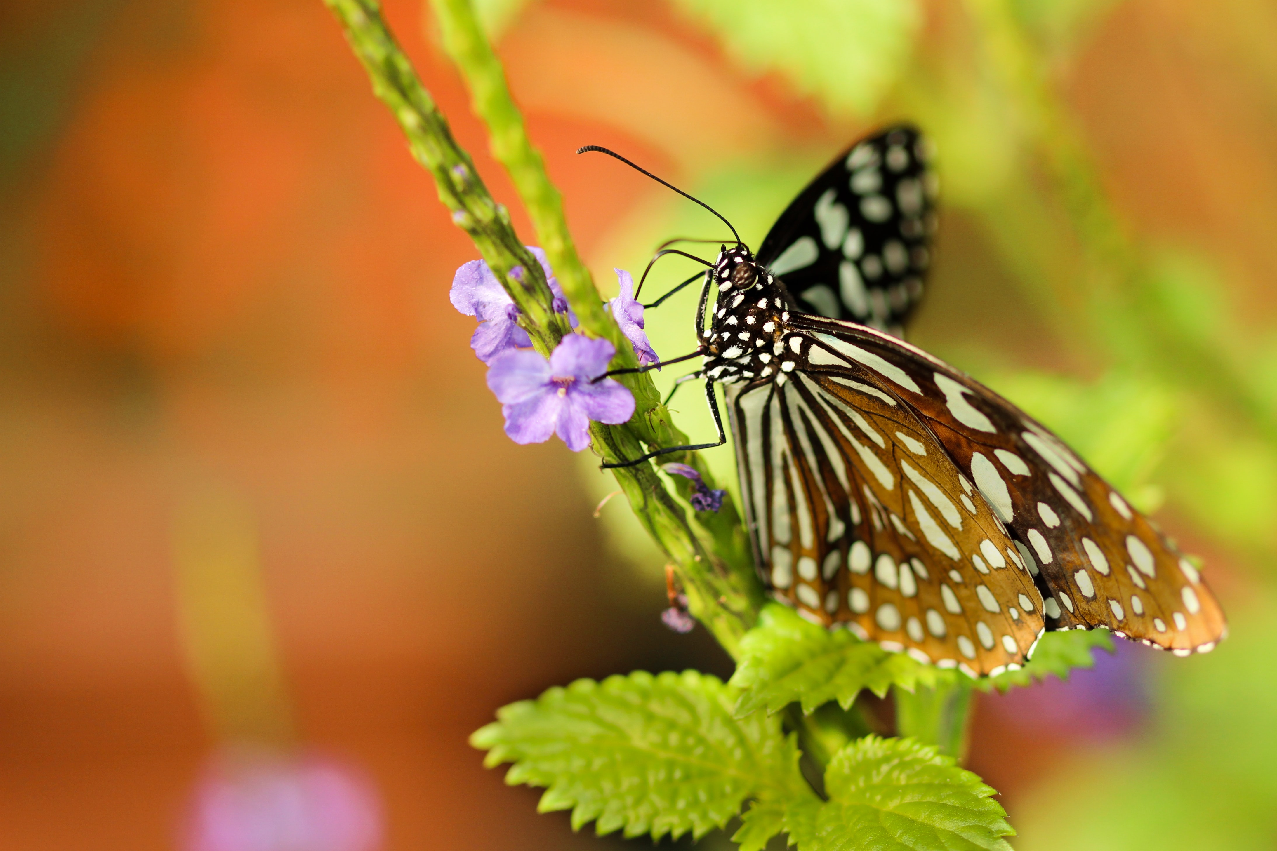 A white monarch butterfly feeding on tiny violet flowers