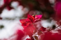 selective focus photography of red bougainvillea plant