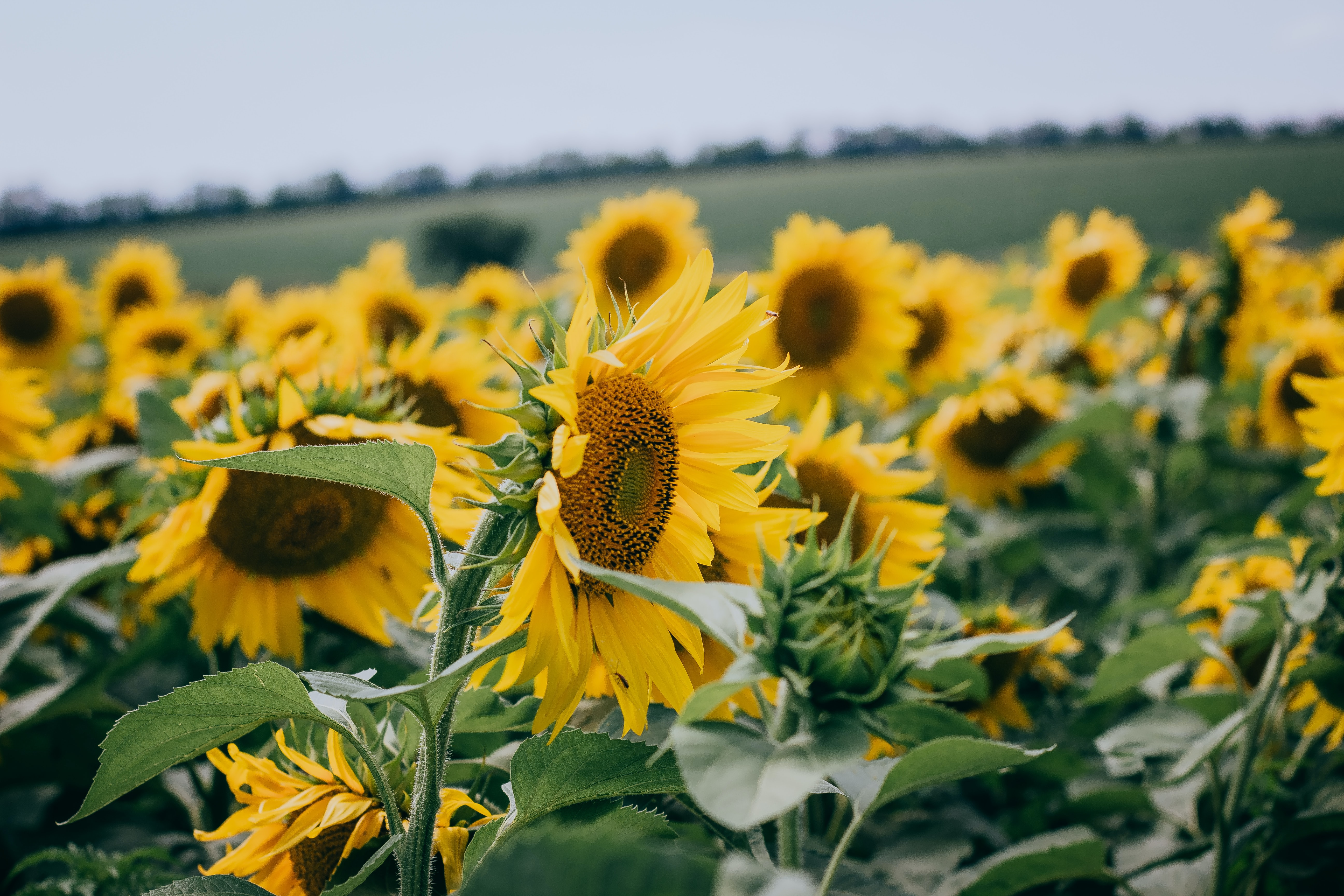 A field of blooming sunflowers on a cloudy day