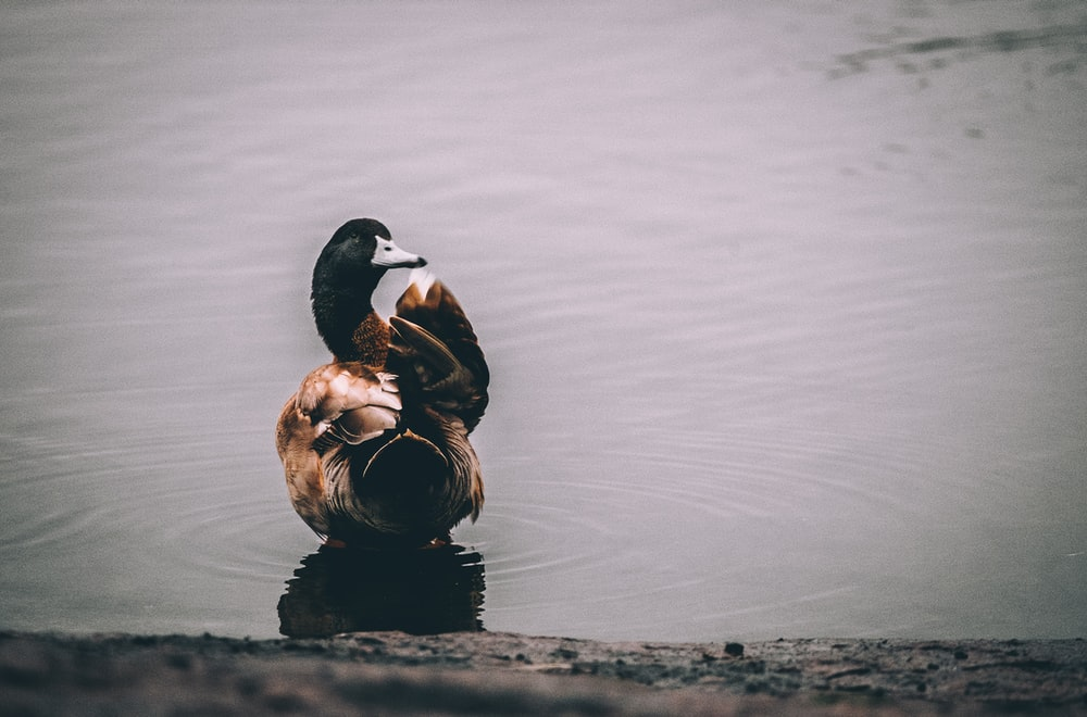 shallow focus photography of black and brown duck on lake