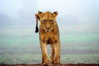lioness standing on brown sands