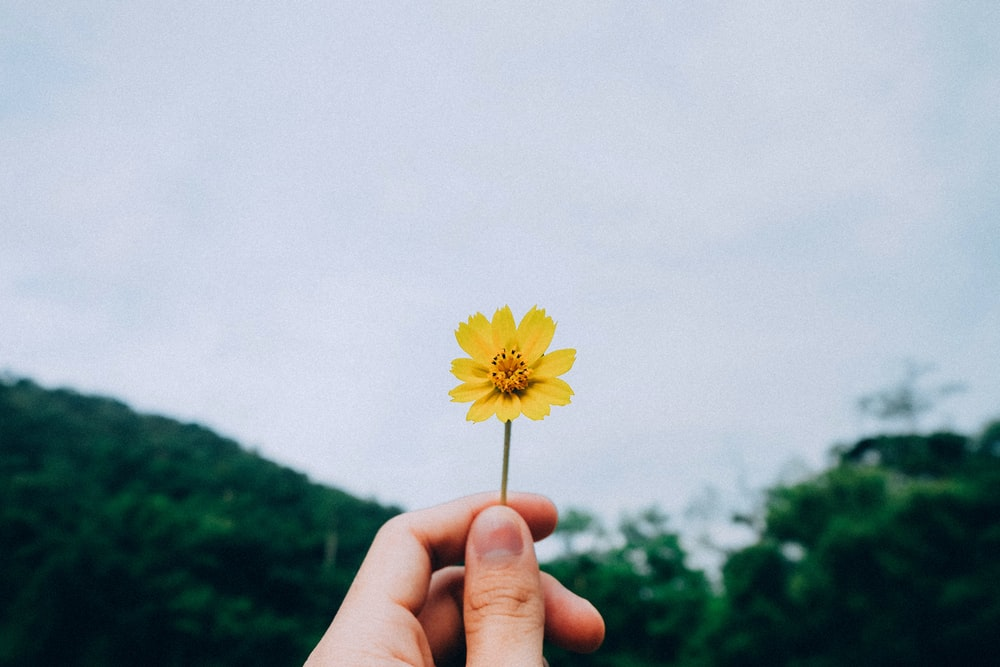 person holding yellow petaled flower