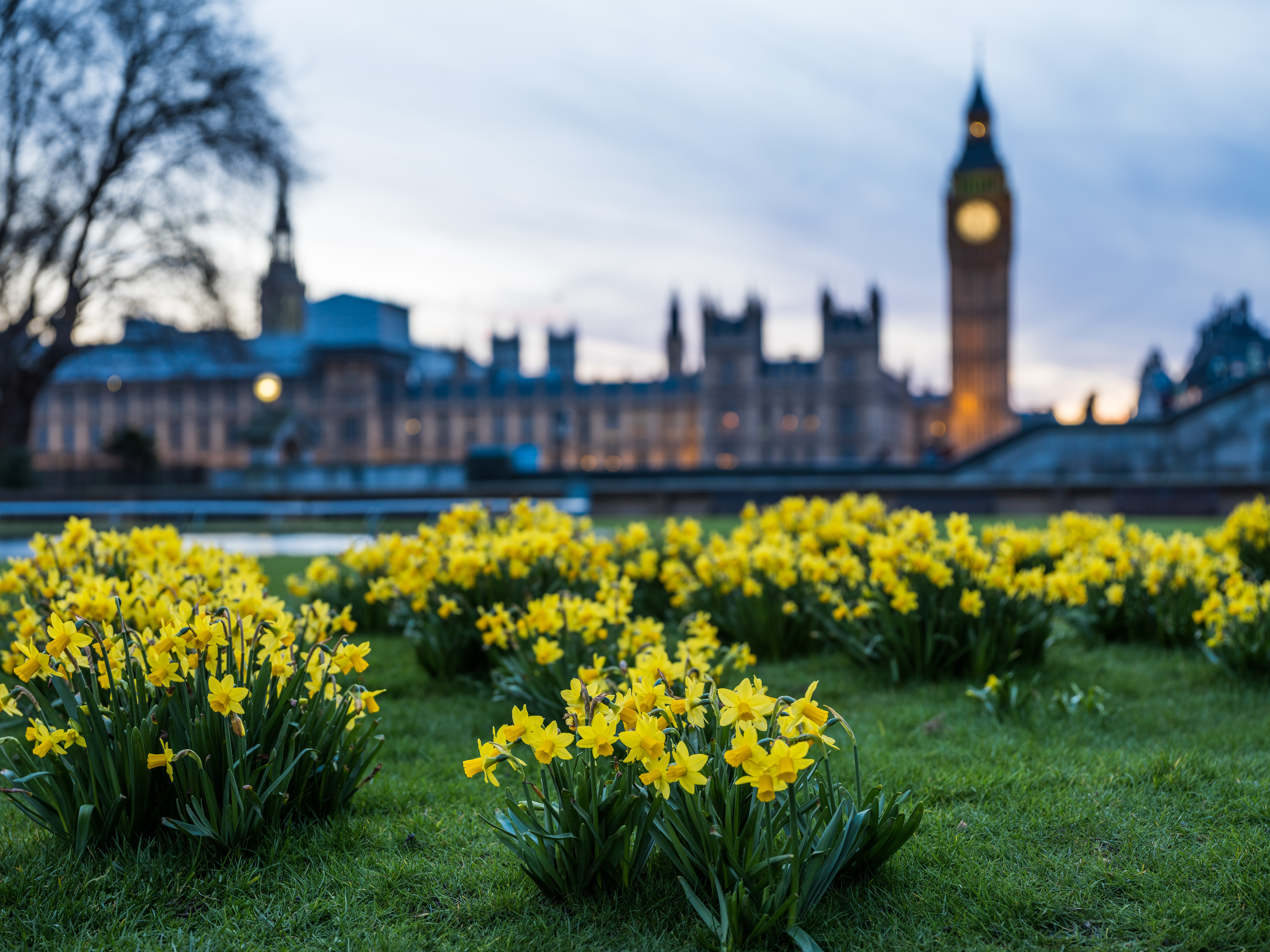 Daffodils and grass with a view of parliament and Big Ben in the distance