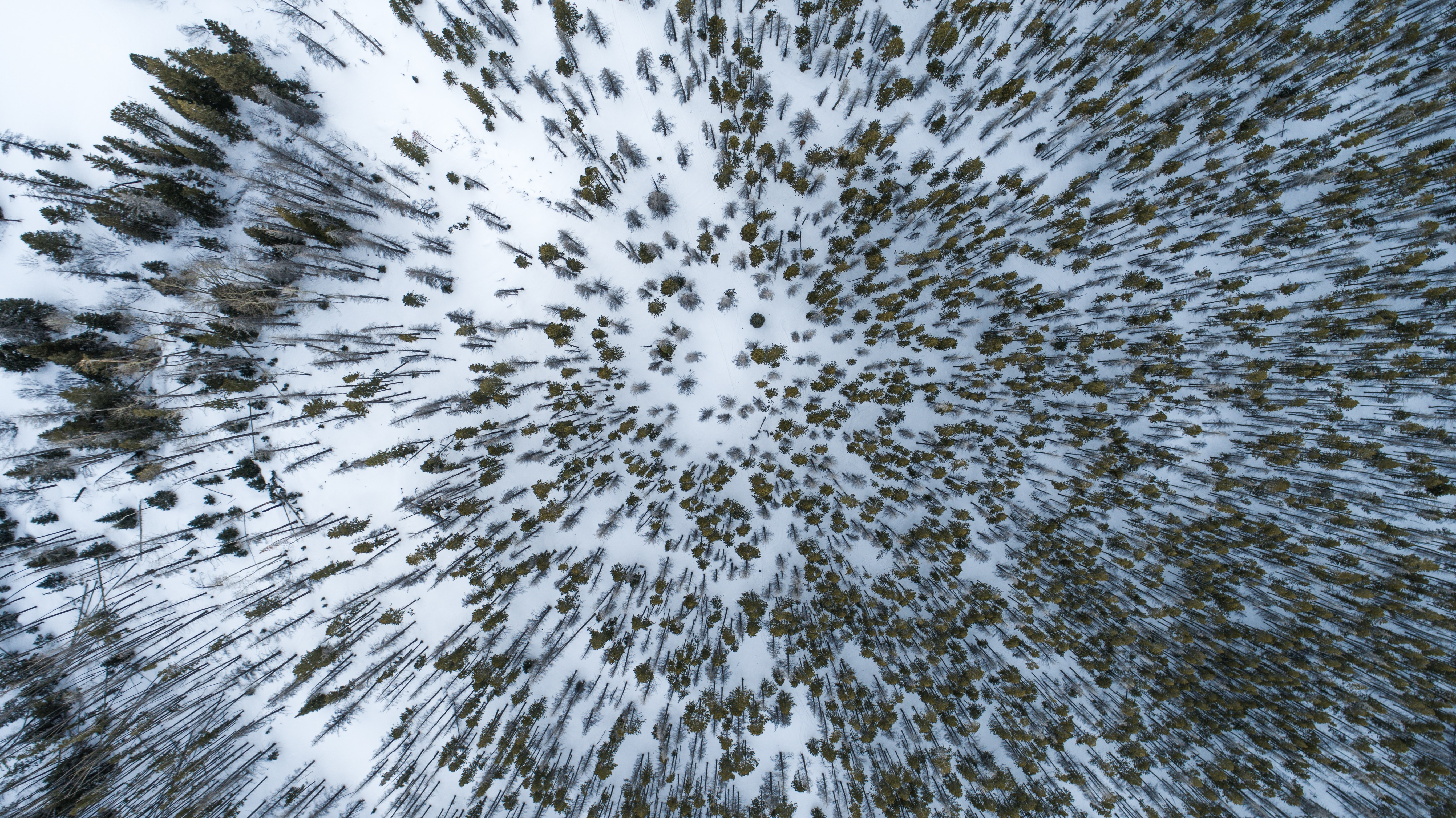 A drone shot of pine trees in snow